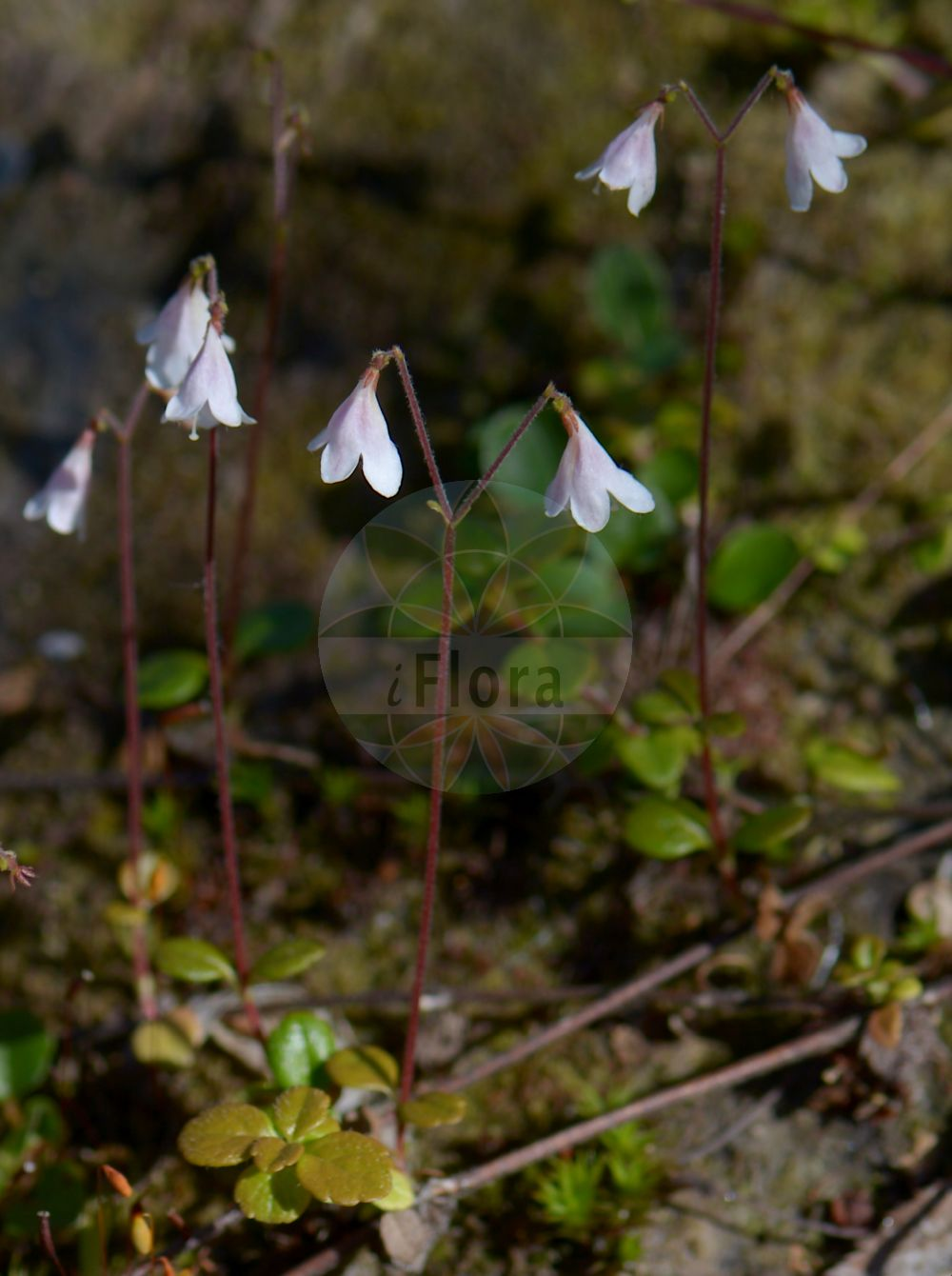 Foto von Linnaea borealis (Moosgloeckchen - Twinflower). Das Bild zeigt Blatt und Bluete. Das Foto wurde in Goeteborg, Schweden aufgenommen. ---- Photo of Linnaea borealis (Moosgloeckchen - Twinflower).The image is showing leaf and flower.The picture was taken in Gothenburg, Sweden.(Linnaea borealis,Moosgloeckchen,Twinflower,Erdgloeckchen,Linnaea,Moosgloeckchen,Twinflower,Caprifoliaceae,Geissblattgewaechse,Honeysuckle family,Blatt,Bluete,leaf,flower)