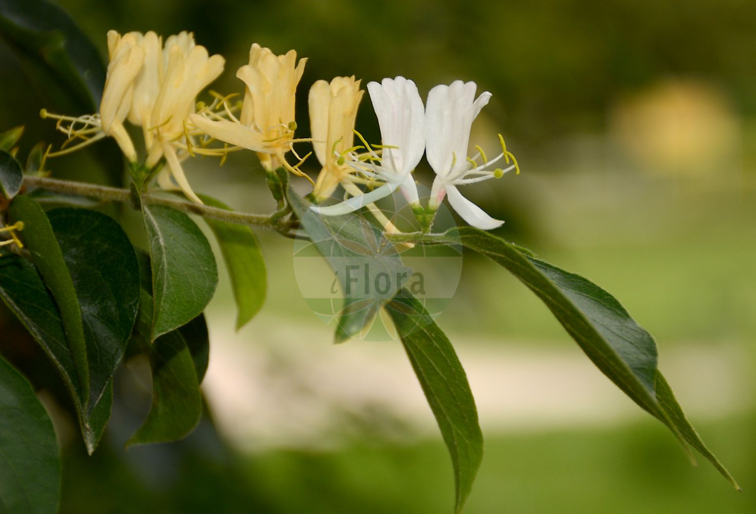 Foto von Lonicera maackii. Das Bild zeigt Blatt und Bluete. Das Foto wurde in Jardin des Plantes, Paris, Frankreich aufgenommen. ---- Photo of Lonicera maackii.The image is showing leaf and flower.The picture was taken in Jardin des Plantes, Paris, France.(Lonicera maackii,Xylosteon maackii,Lonicera,Heckenkirsche,Honeysuckle,Caprifoliaceae,Geissblattgewaechse,Honeysuckle family,Blatt,Bluete,leaf,flower)