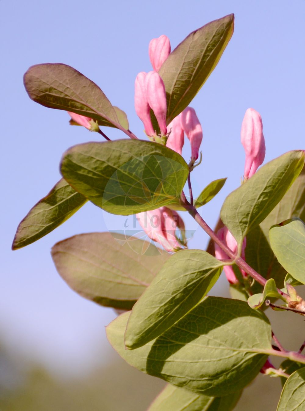 Foto von Lonicera tatarica. Das Bild zeigt Blatt und Bluete. Das Foto wurde in Marburg, Hessen, Deutschland aufgenommen. ---- Photo of Lonicera tatarica.The image is showing leaf and flower.The picture was taken in Marburg, Hesse, Germany.(Lonicera tatarica,Lonicera benjaminii,,Lonicera,Heckenkirsche,Honeysuckle,Caprifoliaceae,Geissblattgewaechse,Honeysuckle family,Blatt,Bluete,leaf,flower)
