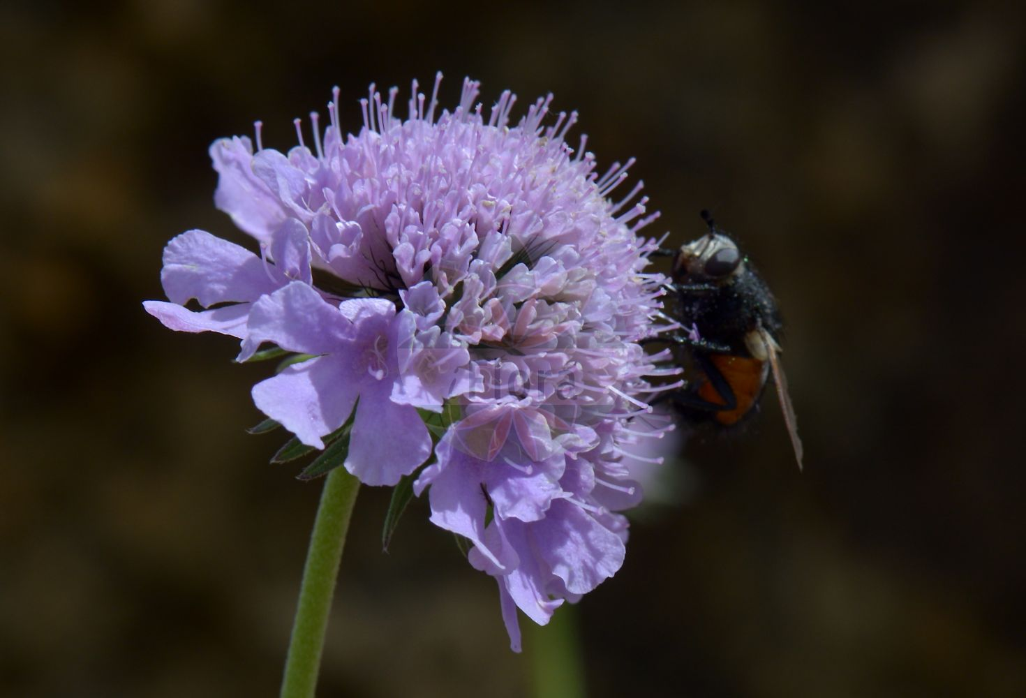 Foto von Scabiosa lucida (Glaenzende Skabiose - Glossy Scabious). Das Bild zeigt Bluete. Das Foto wurde in Saussurea, Mont Blanc, Valle d'Aosta, Italien aufgenommen. ---- Photo of Scabiosa lucida (Glaenzende Skabiose - Glossy Scabious).The image is showing flower.The picture was taken in Saussurea, Mont Blanc, Valle d'Aosta, Italy.(Scabiosa lucida,Glaenzende Skabiose,Glossy Scabious,Scabiosa opaca,Scabiosa pubescens,Shining Scabious,Scabiosa,Skabiose,Scabious,Caprifoliaceae,Geissblattgewaechse,Honeysuckle family,Bluete,flower)