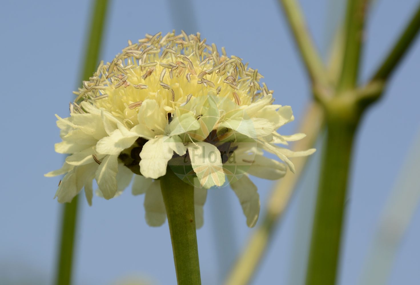 Foto von Scabiosa owerinii. Das Bild zeigt Bluete. Das Foto wurde in Bonn, Nordrhein-Westfalen, Deutschland aufgenommen. ---- Photo of Scabiosa owerinii.The image is showing flower.The picture was taken in Bonn, North Rhine-Westphalia, Germany.(Scabiosa owerinii,Scabiosa,Skabiose,Scabious,Caprifoliaceae,Geissblattgewaechse,Honeysuckle family,Bluete,flower)