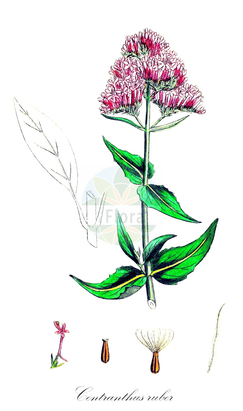 Historische Abbildung von Centranthus ruber (Rote Spornblume - Red Valerian). Das Bild zeigt Blatt, Bluete, Frucht und Same. ---- Historical Drawing of Centranthus ruber (Rote Spornblume - Red Valerian).The image is showing leaf, flower, fruit and seed.(Centranthus ruber,Rote Spornblume,Red Valerian,Centranthus latifolius,Centranthus marinus,Valeriana alba,Valeriana florida,Valeriana rubra,Spornbaldrian,American Lilac,Codbed,Fox's Brush,Kiss-me,Kiss-me-Quick,Pretty Betsy,Spur Valerian,Sweet Betsy,Centranthus,Spornblume,Lilac,Caprifoliaceae,Geissblattgewaechse,Honeysuckle family,Blatt,Bluete,Frucht,Same,leaf,flower,fruit,seed,Sowerby (1790-1813))