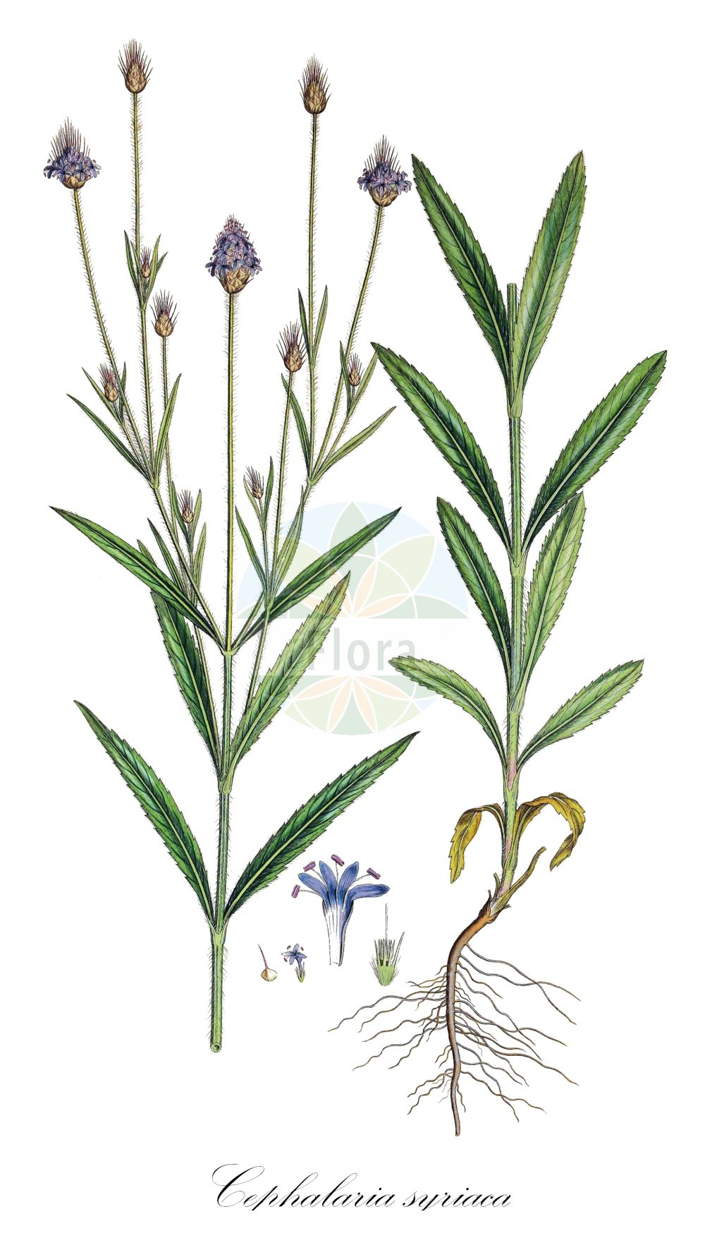 Historische Abbildung von Cephalaria syriaca. Das Bild zeigt Blatt, Bluete, Frucht und Same. ---- Historical Drawing of Cephalaria syriaca.The image is showing leaf, flower, fruit and seed.(Cephalaria syriaca,Cephalaria boissieri,Scabiosa dichotoma,Scabiosa syriaca,Cephalaria,Caprifoliaceae,Geissblattgewaechse,Honeysuckle family,Blatt,Bluete,Frucht,Same,leaf,flower,fruit,seed,Sibthrop & Smith (1806-1840))