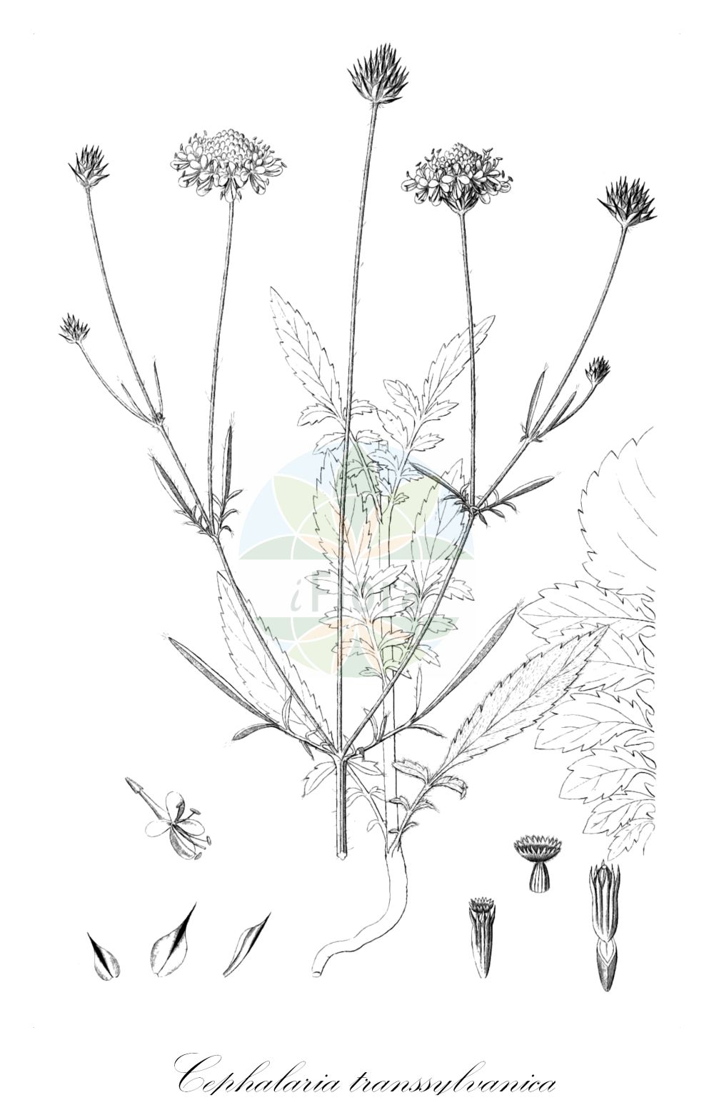 Historische Abbildung von Cephalaria transsylvanica. Das Bild zeigt Blatt, Bluete, Frucht und Same. ---- Historical Drawing of Cephalaria transsylvanica.The image is showing leaf, flower, fruit and seed.(Cephalaria transsylvanica,Cephalaria allionii,,Cephalaria,Caprifoliaceae,Geissblattgewaechse,Honeysuckle family,Blatt,Bluete,Frucht,Same,leaf,flower,fruit,seed,Reichenbach (1823-1832))