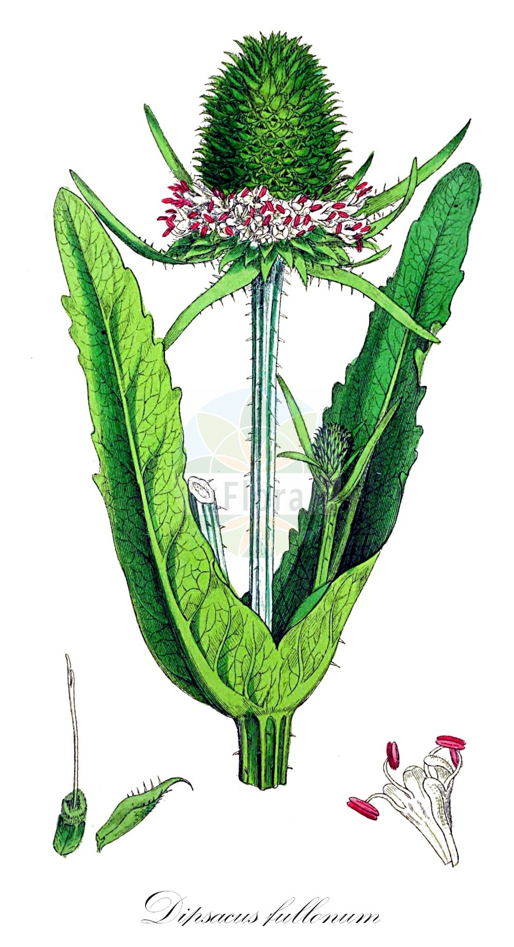 Historische Abbildung von Dipsacus fullonum (Wilde Karde - Wild Teasel). Das Bild zeigt Blatt, Bluete, Frucht und Same. ---- Historical Drawing of Dipsacus fullonum (Wilde Karde - Wild Teasel).The image is showing leaf, flower, fruit and seed.(Dipsacus fullonum,Wilde Karde,Wild Teasel,Dipsacus sylvestris,Common Teasel,Fuller's Teasel,Teasel,Dipsacus,Karde,Teasel,Caprifoliaceae,Geissblattgewaechse,Honeysuckle family,Blatt,Bluete,Frucht,Same,leaf,flower,fruit,seed,Sowerby (1790-1813))