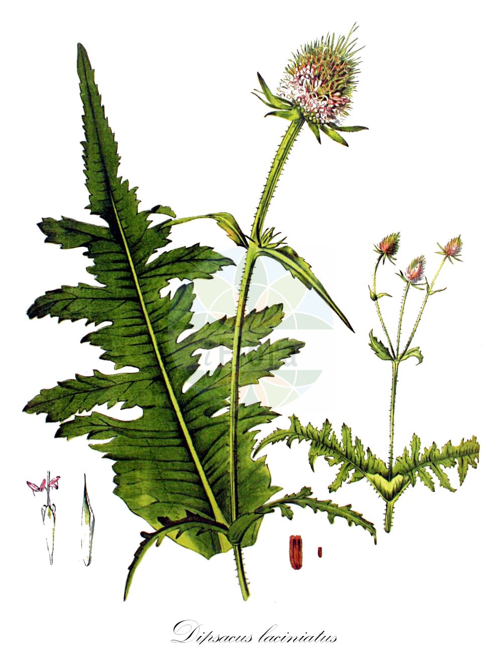 Historische Abbildung von Dipsacus laciniatus (Schlitzblaettrige Karde - Cut-leaved Teasel). Das Bild zeigt Blatt, Bluete, Frucht und Same. ---- Historical Drawing of Dipsacus laciniatus (Schlitzblaettrige Karde - Cut-leaved Teasel).The image is showing leaf, flower, fruit and seed.(Dipsacus laciniatus,Schlitzblaettrige Karde,Cut-leaved Teasel,Cutleaf Teasel,Dipsacus,Karde,Teasel,Caprifoliaceae,Geissblattgewaechse,Honeysuckle family,Blatt,Bluete,Frucht,Same,leaf,flower,fruit,seed,Kops (1800-1934))