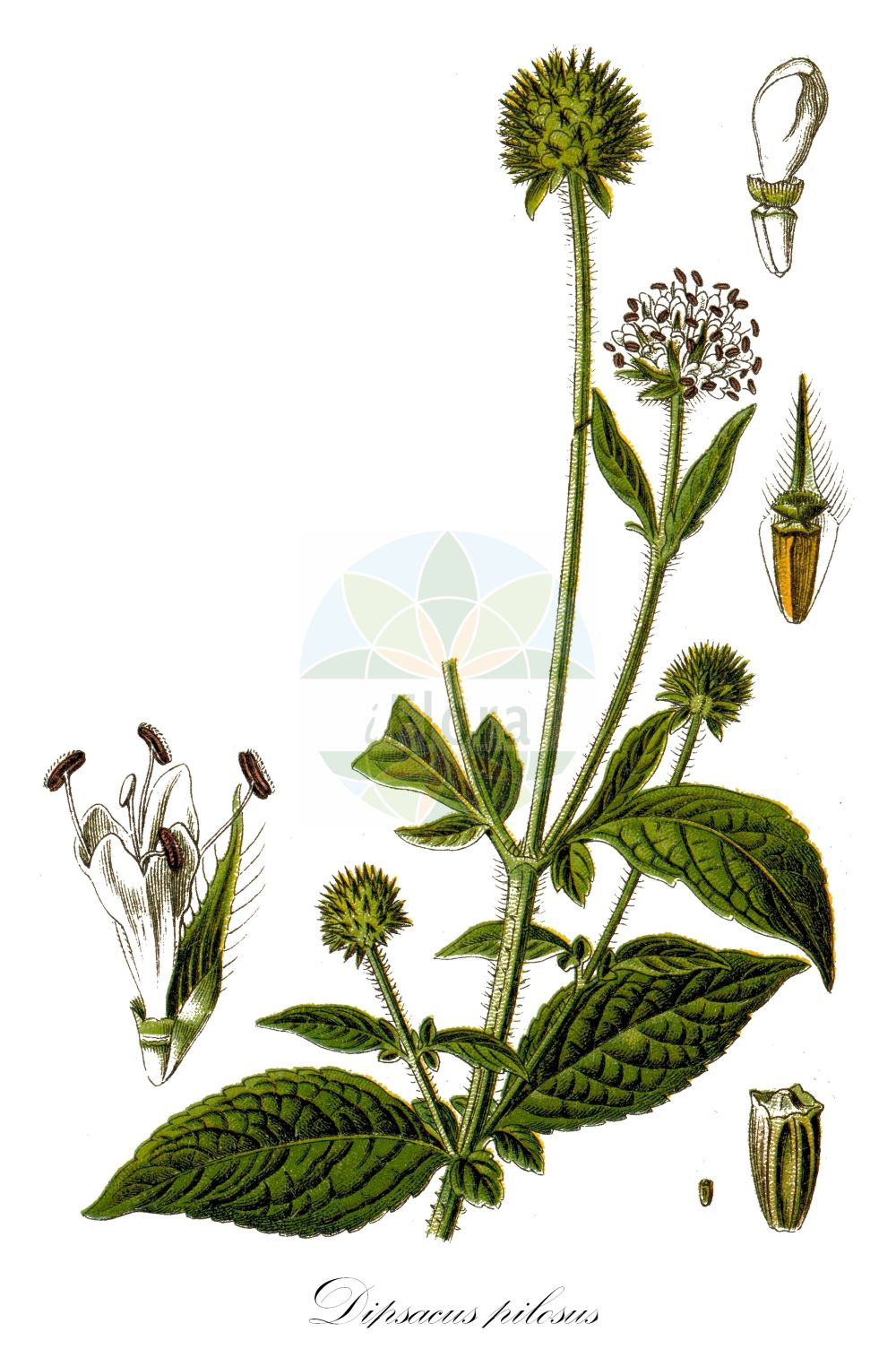 Historische Abbildung von Dipsacus pilosus (Behaarte Karde - Small Teasel). Das Bild zeigt Blatt, Bluete, Frucht und Same. ---- Historical Drawing of Dipsacus pilosus (Behaarte Karde - Small Teasel).The image is showing leaf, flower, fruit and seed.(Dipsacus pilosus,Behaarte Karde,Small Teasel,Cephalaria pilosa,Virga pilosa,Dipsacus,Karde,Teasel,Caprifoliaceae,Geissblattgewaechse,Honeysuckle family,Blatt,Bluete,Frucht,Same,leaf,flower,fruit,seed,Sturm (1796f))