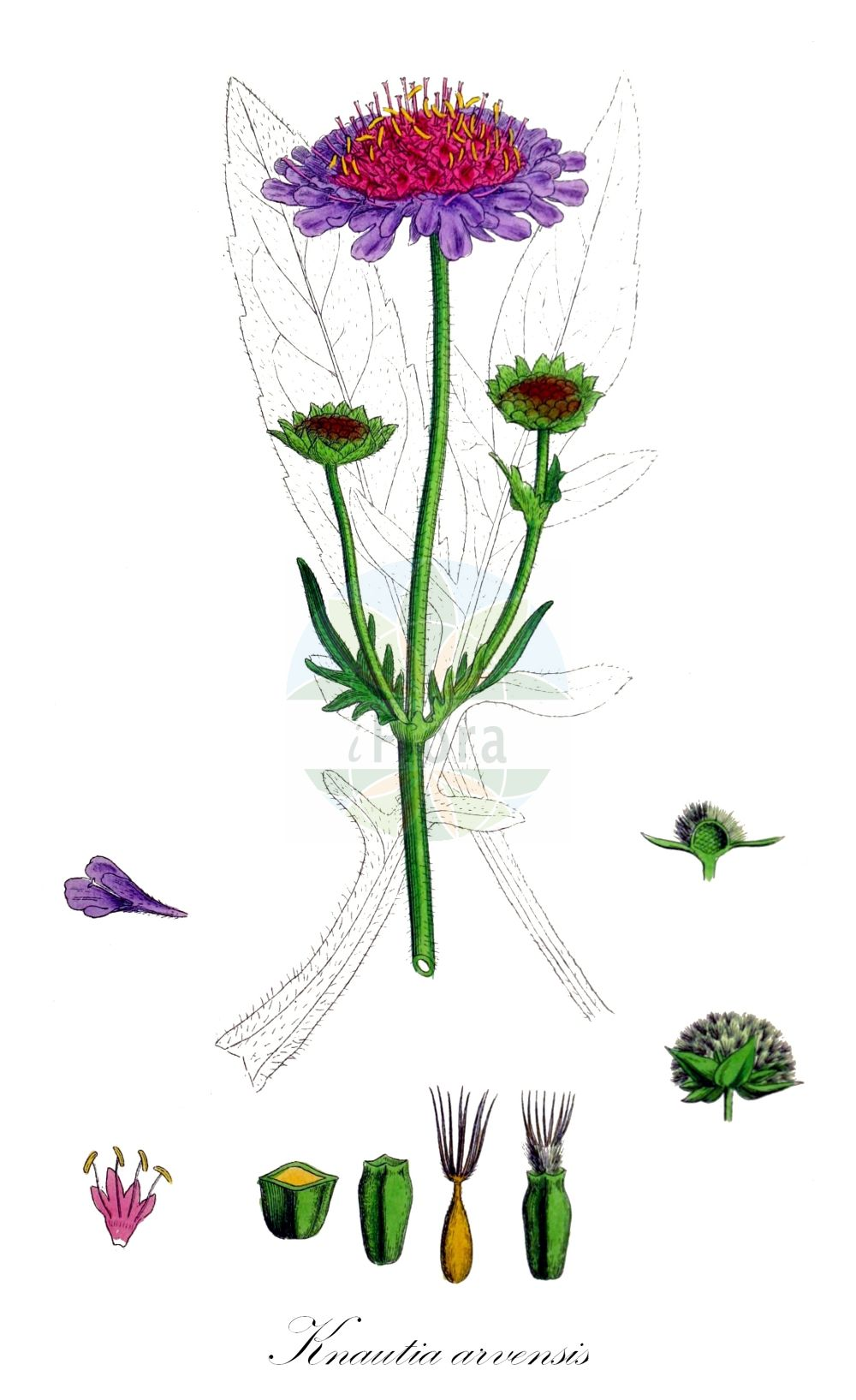 Historische Abbildung von Knautia arvensis (Wiesen-Witwenblume - Field Scabious). Das Bild zeigt Blatt, Bluete, Frucht und Same. ---- Historical Drawing of Knautia arvensis (Wiesen-Witwenblume - Field Scabious).The image is showing leaf, flower, fruit and seed.(Knautia arvensis,Wiesen-Witwenblume,Field Scabious,Knautia avernica,Knautia boderei,Knautia borderei,Knautia catalaunica,Knautia timeroyi,Scabiosa arvensis,Scabiosa collina,Scabiosa dubia,Scabiosa polymorpha,Trichera arvensis,Trichera timeroyi,Kitaibels Witwenblume,Field Scabiosa,Knautia,Witwenblume,Scabious,Caprifoliaceae,Geissblattgewaechse,Honeysuckle family,Blatt,Bluete,Frucht,Same,leaf,flower,fruit,seed,Sowerby (1790-1813))