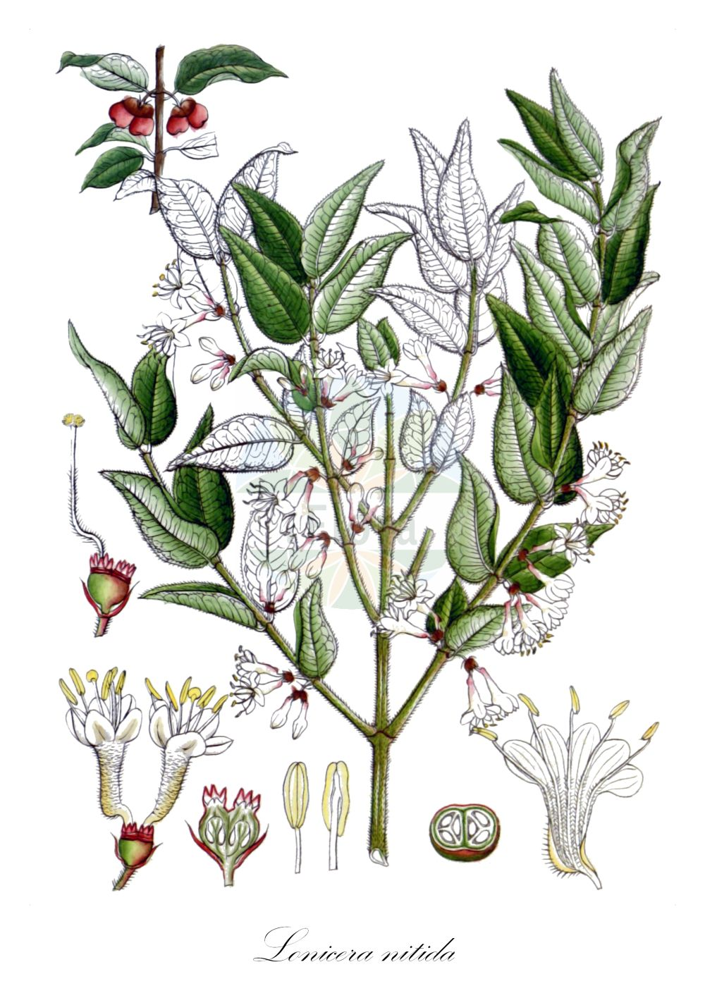 Historische Abbildung von Lonicera nitida. Das Bild zeigt Blatt, Bluete, Frucht und Same. ---- Historical Drawing of Lonicera nitida.The image is showing leaf, flower, fruit and seed.(Lonicera nitida,Lonicera,Heckenkirsche,Honeysuckle,Caprifoliaceae,Geissblattgewaechse,Honeysuckle family,Blatt,Bluete,Frucht,Same,leaf,flower,fruit,seed,Wight (1840-1850))