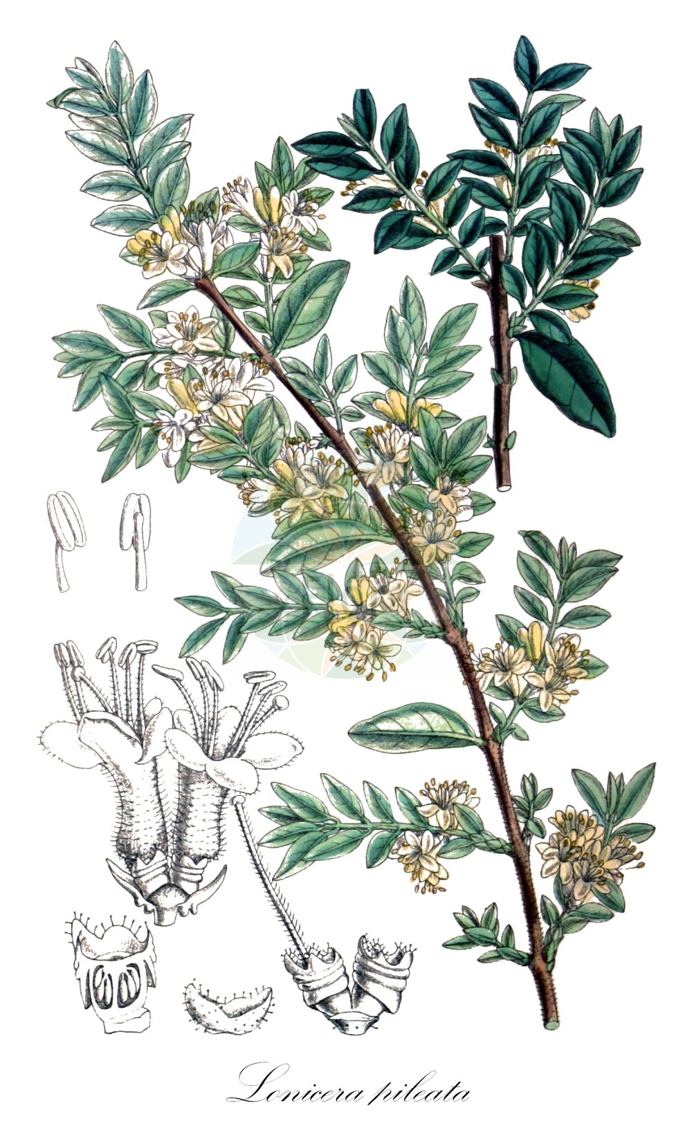 Historische Abbildung von Lonicera pileata. Das Bild zeigt Blatt, Bluete, Frucht und Same. ---- Historical Drawing of Lonicera pileata.The image is showing leaf, flower, fruit and seed.(Lonicera pileata,Lonicera,Heckenkirsche,Honeysuckle,Caprifoliaceae,Geissblattgewaechse,Honeysuckle family,Blatt,Bluete,Frucht,Same,leaf,flower,fruit,seed,Curtis Botanical Magazine (1787f))