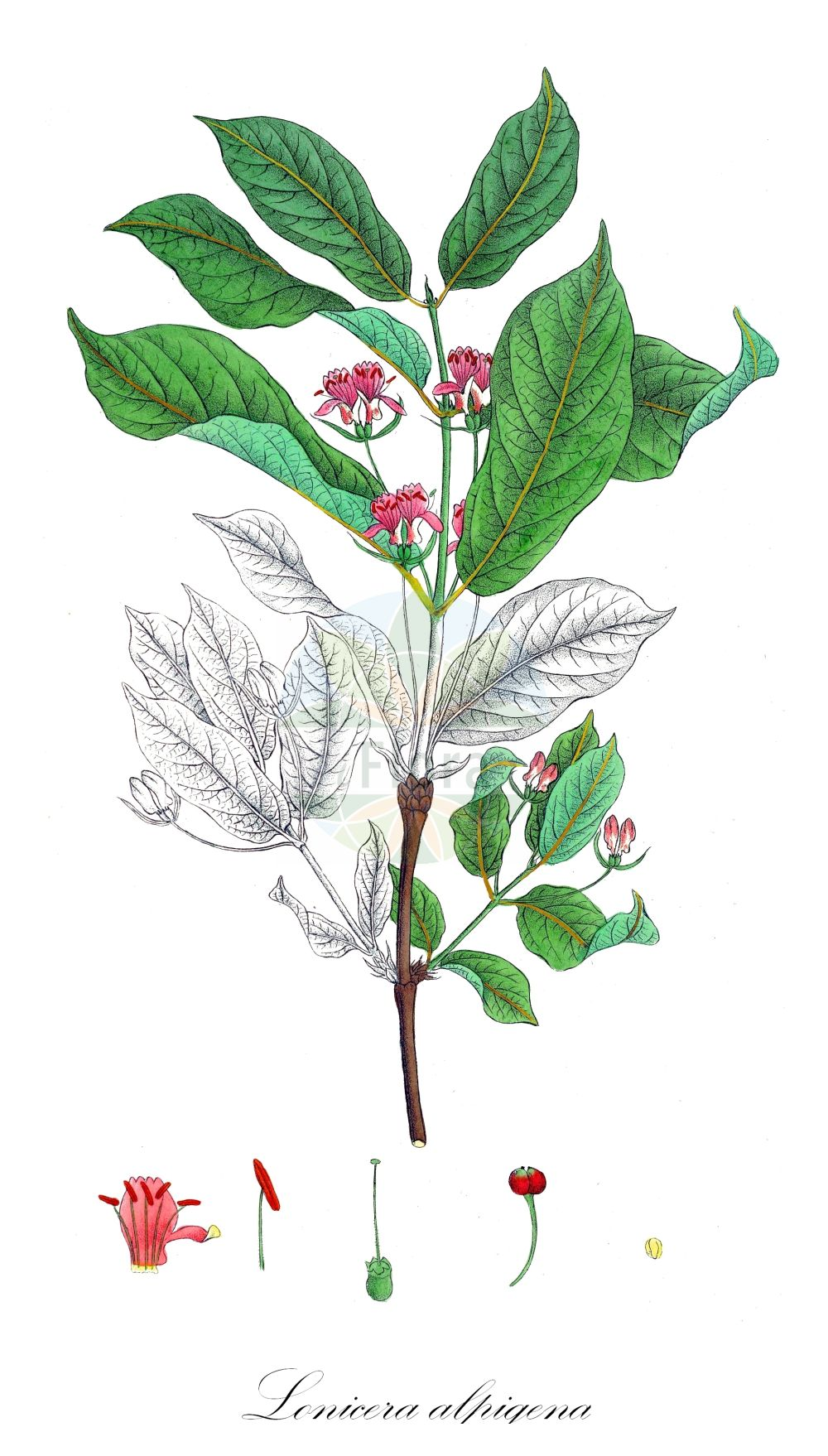 Historische Abbildung von Lonicera alpigena (Alpen-Heckenkirsche - Alpine Honeysuckle). Das Bild zeigt Blatt, Bluete, Frucht und Same. ---- Historical Drawing of Lonicera alpigena (Alpen-Heckenkirsche - Alpine Honeysuckle).The image is showing leaf, flower, fruit and seed.(Lonicera alpigena,Alpen-Heckenkirsche,Alpine Honeysuckle,Alpen-Geissblatt,Cherry Woodbine,Lonicera,Heckenkirsche,Honeysuckle,Caprifoliaceae,Geissblattgewaechse,Honeysuckle family,Blatt,Bluete,Frucht,Same,leaf,flower,fruit,seed,Krebs (1826))