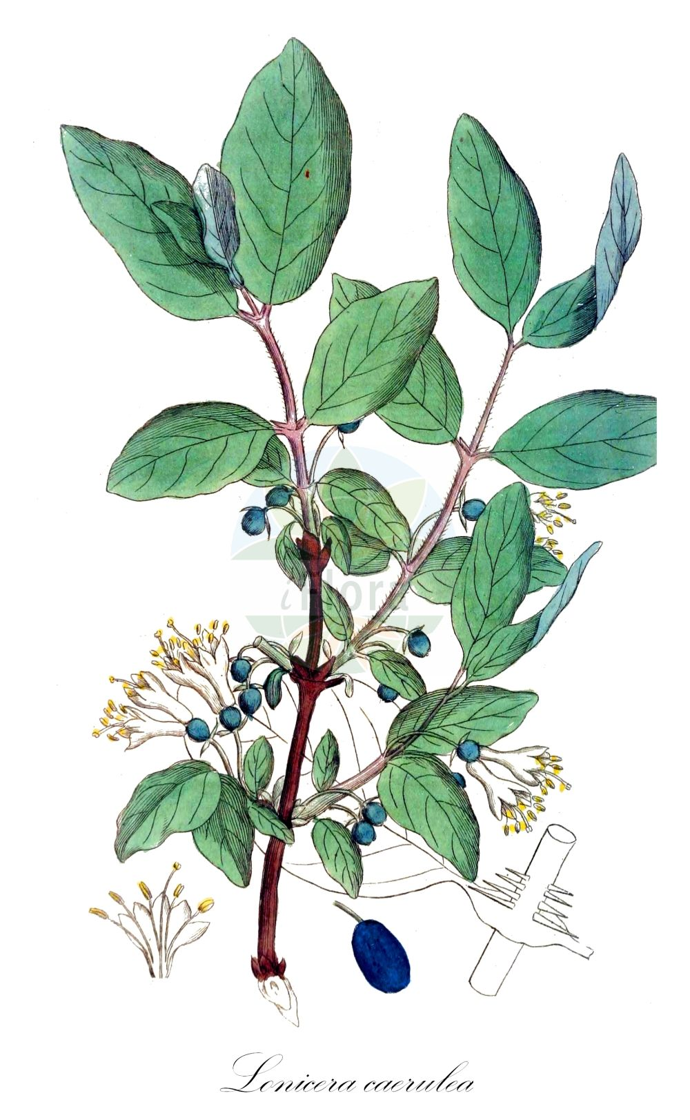 Historische Abbildung von Lonicera caerulea (Blaue Heckenkirsche - Blue-berried Honeysuckle). Das Bild zeigt Blatt, Bluete, Frucht und Same. ---- Historical Drawing of Lonicera caerulea (Blaue Heckenkirsche - Blue-berried Honeysuckle).The image is showing leaf, flower, fruit and seed.(Lonicera caerulea,Blaue Heckenkirsche,Blue-berried Honeysuckle,Caprifolium borbasianum,Lonicera borbasiana,,Blaues Geissblatt,Blue Honeysuckle,Weetberry Honeysuckle,Sweetberry Honeysuckle,Lonicera,Heckenkirsche,Honeysuckle,Caprifoliaceae,Geissblattgewaechse,Honeysuckle family,Blatt,Bluete,Frucht,Same,leaf,flower,fruit,seed,Palmstruch (1807-1843))
