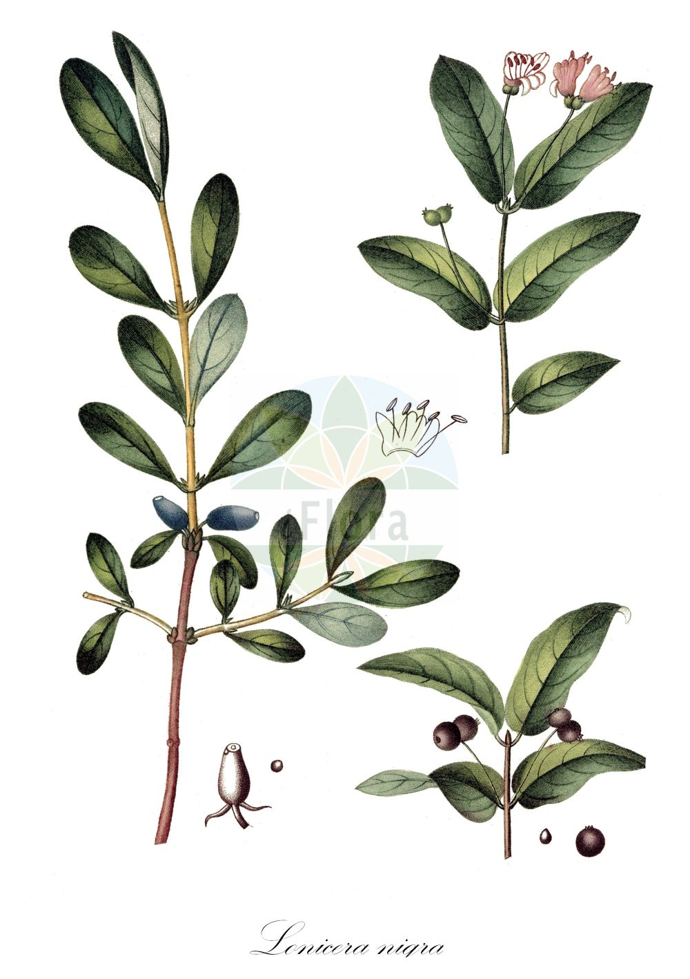 Historische Abbildung von Lonicera nigra (Schwarze Heckenkirsche - Black-berried Honeysuckle). Das Bild zeigt Blatt, Bluete, Frucht und Same. ---- Historical Drawing of Lonicera nigra (Schwarze Heckenkirsche - Black-berried Honeysuckle).The image is showing leaf, flower, fruit and seed.(Lonicera nigra,Schwarze Heckenkirsche,Black-berried Honeysuckle,Lonicera carpatica,,Schwarzes Geissblatt,Black-fruited Honeysuckle,Lonicera,Heckenkirsche,Honeysuckle,Caprifoliaceae,Geissblattgewaechse,Honeysuckle family,Blatt,Bluete,Frucht,Same,leaf,flower,fruit,seed,de Saint-Hilaire (1828-1833))