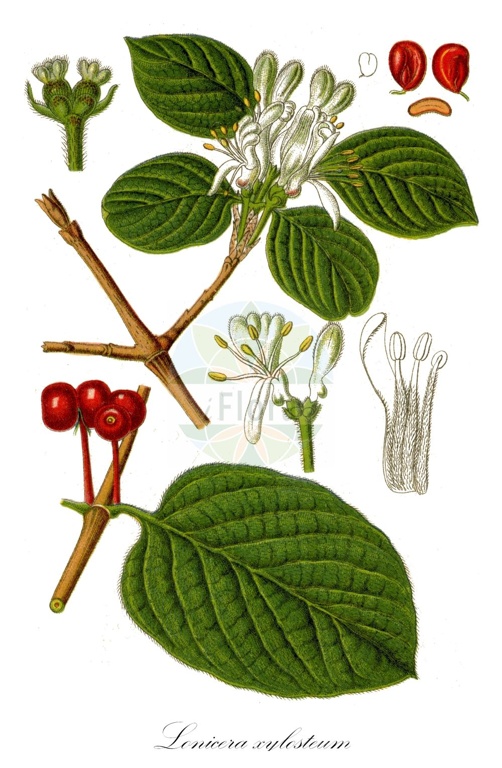 Historische Abbildung von Lonicera xylosteum (Rote Heckenkirsche - Fly Honeysuckle). Das Bild zeigt Blatt, Bluete, Frucht und Same. ---- Historical Drawing of Lonicera xylosteum (Rote Heckenkirsche - Fly Honeysuckle).The image is showing leaf, flower, fruit and seed.(Lonicera xylosteum,Rote Heckenkirsche,Fly Honeysuckle,Lonicera leiophylla,Lonicera luteiflora,Lonicera ochroleuca,,Beinholz,Rotes Geissblatt,Dwarf Honeysuckle,Lonicera,Heckenkirsche,Honeysuckle,Caprifoliaceae,Geissblattgewaechse,Honeysuckle family,Blatt,Bluete,Frucht,Same,leaf,flower,fruit,seed,Sturm (1796f))