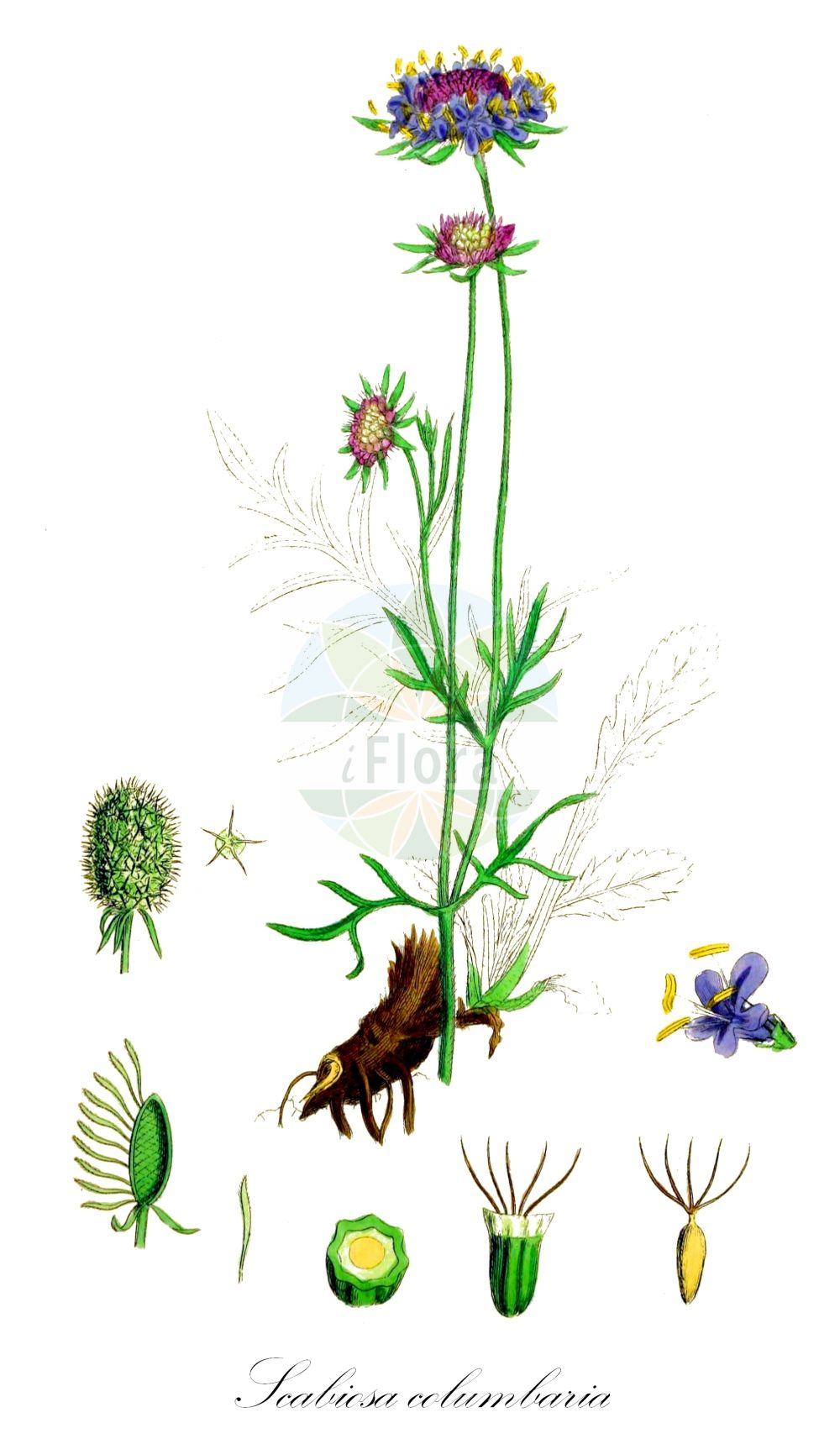 Historische Abbildung von Scabiosa columbaria (Tauben-Skabiose - Small Scabious). Das Bild zeigt Blatt, Bluete, Frucht und Same. ---- Historical Drawing of Scabiosa columbaria (Tauben-Skabiose - Small Scabious).The image is showing leaf, flower, fruit and seed.(Scabiosa columbaria,Tauben-Skabiose,Small Scabious,Scabiosa affinis,Scabiosa amoena,Scabiosa angulata,Scabiosa banatica,Scabiosa ceratophylla,Scabiosa columnae,Scabiosa communis,,Dove Scabious,Dove Pincushions,Scabiosa,Skabiose,Scabious,Caprifoliaceae,Geissblattgewaechse,Honeysuckle family,Blatt,Bluete,Frucht,Same,leaf,flower,fruit,seed,Sowerby (1790-1813))