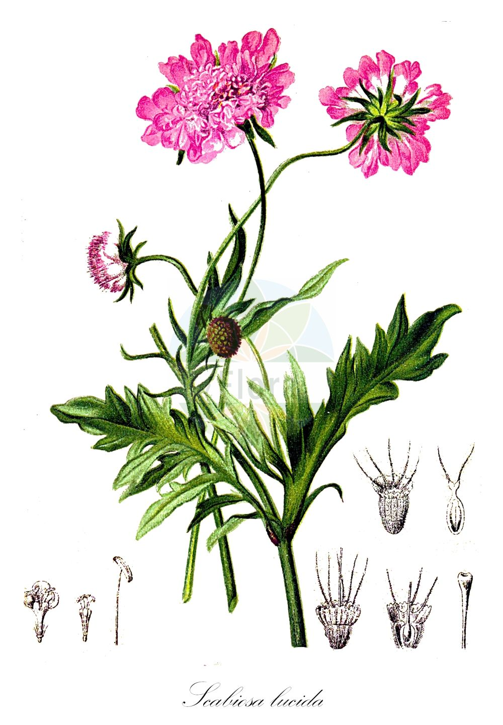Historische Abbildung von Scabiosa lucida (Glaenzende Skabiose - Glossy Scabious). Das Bild zeigt Blatt, Bluete, Frucht und Same. ---- Historical Drawing of Scabiosa lucida (Glaenzende Skabiose - Glossy Scabious).The image is showing leaf, flower, fruit and seed.(Scabiosa lucida,Glaenzende Skabiose,Glossy Scabious,Scabiosa opaca,Scabiosa pubescens,Shining Scabious,Scabiosa,Skabiose,Scabious,Caprifoliaceae,Geissblattgewaechse,Honeysuckle family,Blatt,Bluete,Frucht,Same,leaf,flower,fruit,seed,Hartinger & von Dalla Torre (1806f))