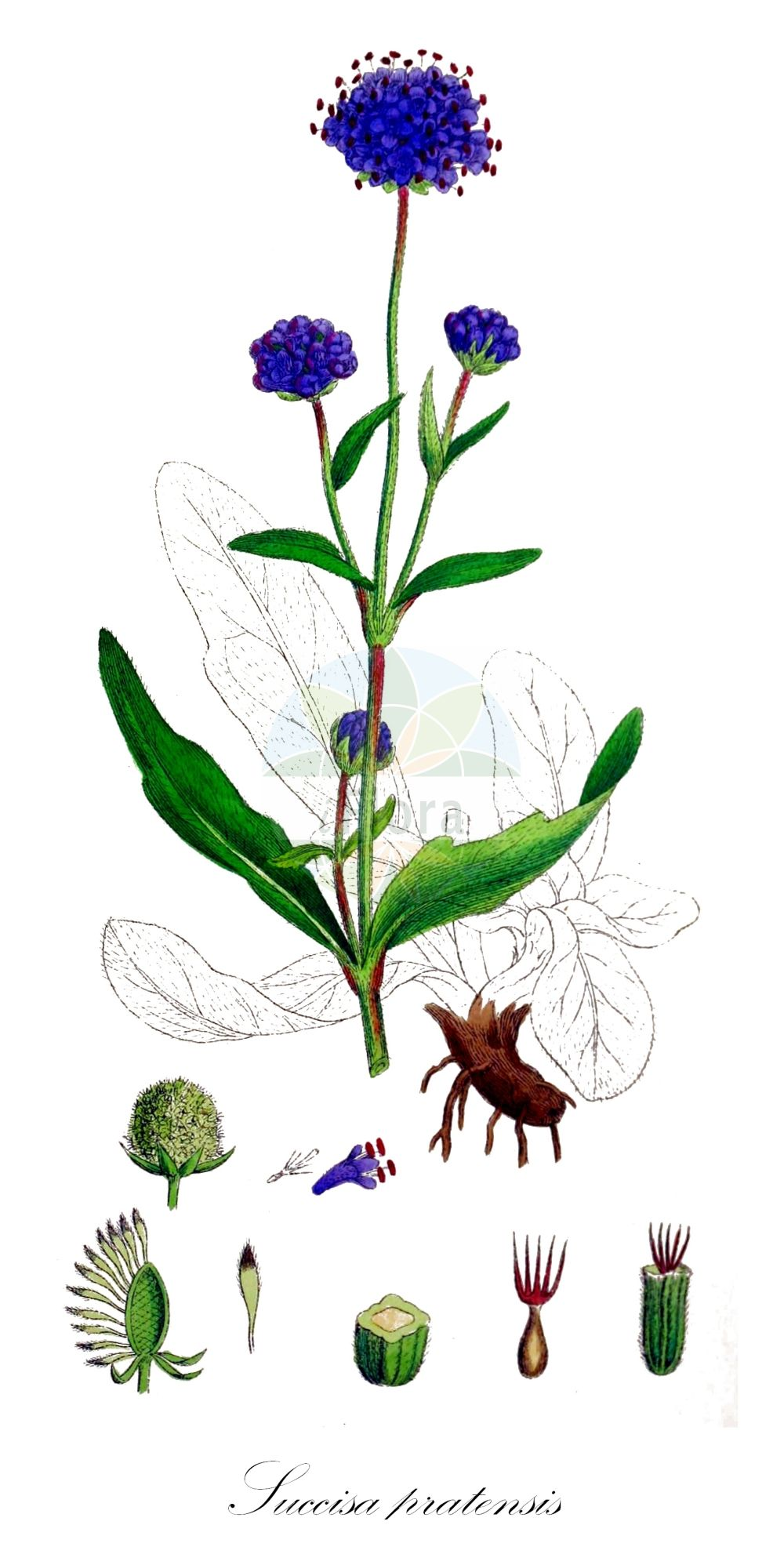 Historische Abbildung von Succisa pratensis (Gewoehnlicher Teufelsabbiss - Devil's-bit Scabious). Das Bild zeigt Blatt, Bluete, Frucht und Same. ---- Historical Drawing of Succisa pratensis (Gewoehnlicher Teufelsabbiss - Devil's-bit Scabious).The image is showing leaf, flower, fruit and seed.(Succisa pratensis,Gewoehnlicher Teufelsabbiss,Devil's-bit Scabious,Scabiosa glabrata,Scabiosa succisa,Succisa praemorsa,,Devilsbit,Succisa,Teufelsabbiss,Devil'S Bit Scabious,Caprifoliaceae,Geissblattgewaechse,Honeysuckle family,Blatt,Bluete,Frucht,Same,leaf,flower,fruit,seed,Sowerby (1790-1813))