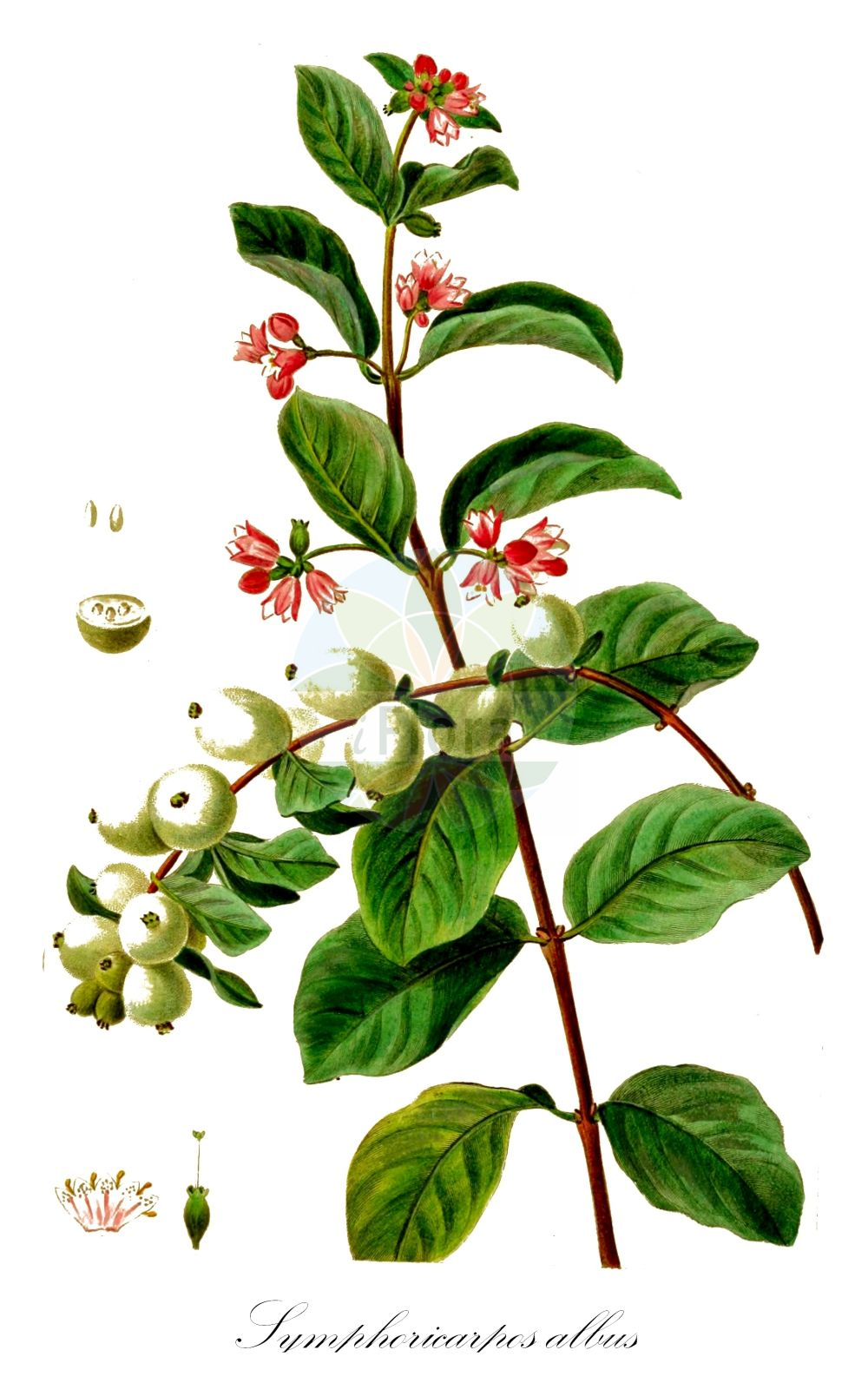 Historische Abbildung von Symphoricarpos albus (Gewoehnliche Schneebeere - Snowberry). Das Bild zeigt Blatt, Bluete, Frucht und Same. ---- Historical Drawing of Symphoricarpos albus (Gewoehnliche Schneebeere - Snowberry).The image is showing leaf, flower, fruit and seed.(Symphoricarpos albus,Gewoehnliche Schneebeere,Snowberry,Symphoricarpos racemosus,Symphoricarpos rivularis,Vaccinium album,Knackbeere,Knallerbse,Common ,Symphoricarpos,Schneebeere,Snowberry,Caprifoliaceae,Geissblattgewaechse,Honeysuckle family,Blatt,Bluete,Frucht,Same,leaf,flower,fruit,seed,Bessa (1772-1835))