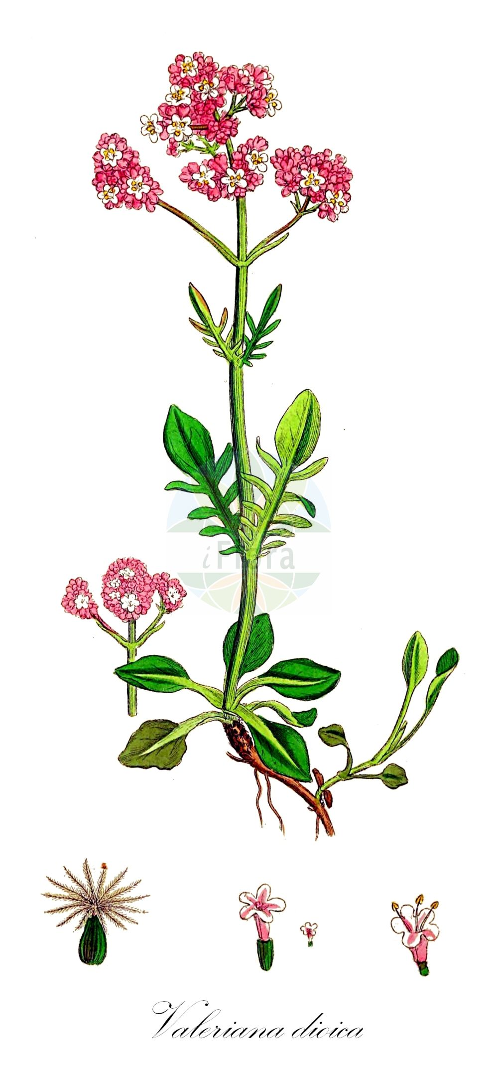 Historische Abbildung von Valeriana dioica (Sumpf-Baldrian - Marsh Valerian). Das Bild zeigt Blatt, Bluete, Frucht und Same. ---- Historical Drawing of Valeriana dioica (Sumpf-Baldrian - Marsh Valerian).The image is showing leaf, flower, fruit and seed.(Valeriana dioica,Sumpf-Baldrian,Marsh Valerian,Lesser Valerian,Small Wild Valerian,Valeriana,Baldrian,Valerian,Caprifoliaceae,Geissblattgewaechse,Honeysuckle family,Blatt,Bluete,Frucht,Same,leaf,flower,fruit,seed,Sowerby (1790-1813))