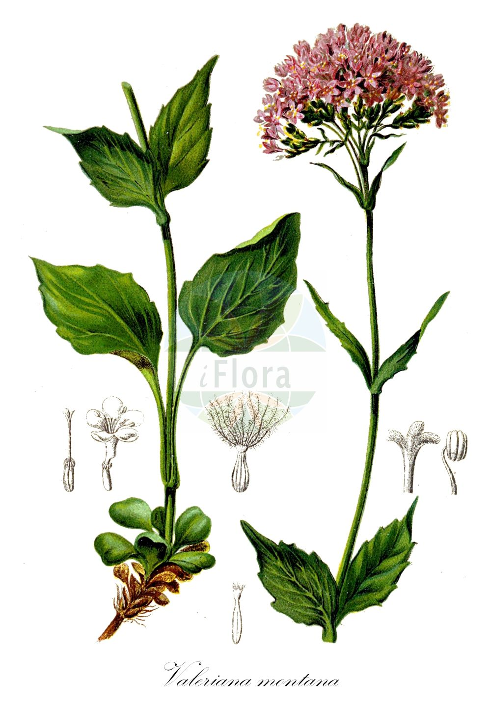 Historische Abbildung von Valeriana montana (Berg-Baldrian - Mountain Valerian). Das Bild zeigt Blatt, Bluete, Frucht und Same. ---- Historical Drawing of Valeriana montana (Berg-Baldrian - Mountain Valerian).The image is showing leaf, flower, fruit and seed.(Valeriana montana,Berg-Baldrian,Mountain Valerian,Valeriana,Baldrian,Valerian,Caprifoliaceae,Geissblattgewaechse,Honeysuckle family,Blatt,Bluete,Frucht,Same,leaf,flower,fruit,seed,Hartinger & von Dalla Torre (1806f))