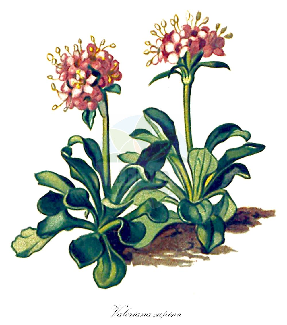 Historische Abbildung von Valeriana supina (Zwerg-Baldrian - Dwarf Valerian). Das Bild zeigt Blatt, Bluete, Frucht und Same. ---- Historical Drawing of Valeriana supina (Zwerg-Baldrian - Dwarf Valerian).The image is showing leaf, flower, fruit and seed.(Valeriana supina,Zwerg-Baldrian,Dwarf Valerian,Valeriana,Baldrian,Valerian,Caprifoliaceae,Geissblattgewaechse,Honeysuckle family,Blatt,Bluete,Frucht,Same,leaf,flower,fruit,seed,Seboth & Graf (1879-1884))