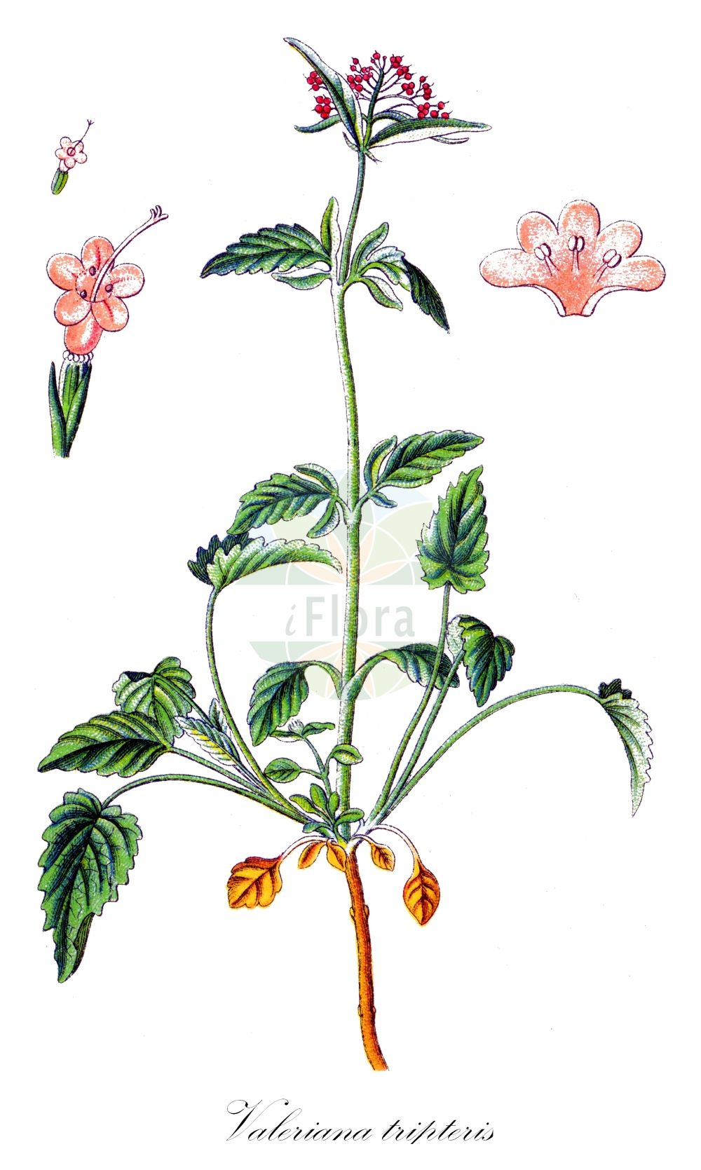 Historische Abbildung von Valeriana tripteris (Dreiblaettriger Baldrian - Three-leaved Valerian). Das Bild zeigt Blatt, Bluete, Frucht und Same. ---- Historical Drawing of Valeriana tripteris (Dreiblaettriger Baldrian - Three-leaved Valerian).The image is showing leaf, flower, fruit and seed.(Valeriana tripteris,Dreiblaettriger Baldrian,Three-leaved Valerian,Valeriana heterophylla,Valeriana transsilvanica,subsp. tomentella,Behaarter Dreischnittiger Baldrian,Österreichischer ,Valeriana,Baldrian,Valerian,Caprifoliaceae,Geissblattgewaechse,Honeysuckle family,Blatt,Bluete,Frucht,Same,leaf,flower,fruit,seed,Sturm (1796f))