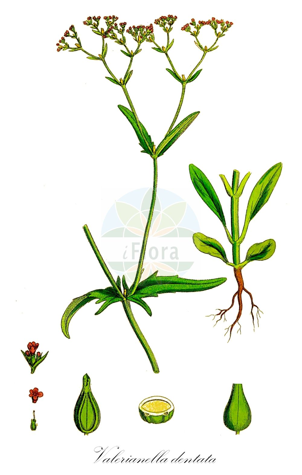 Historische Abbildung von Valerianella dentata (Gezaehnter Feldsalat - Narrow-fruited Cornsalad). Das Bild zeigt Blatt, Bluete, Frucht und Same. ---- Historical Drawing of Valerianella dentata (Gezaehnter Feldsalat - Narrow-fruited Cornsalad).The image is showing leaf, flower, fruit and seed.(Valerianella dentata,Gezaehnter Feldsalat,Narrow-fruited Cornsalad,Fedia dentata,Fedia morisonii,Valerianella mixta,Valerianella morisonii,,Narrowfruit Cornsalad,Valerianella,Rapunzel,Cornsalad,Caprifoliaceae,Geissblattgewaechse,Honeysuckle family,Blatt,Bluete,Frucht,Same,leaf,flower,fruit,seed,Sowerby (1790-1813))
