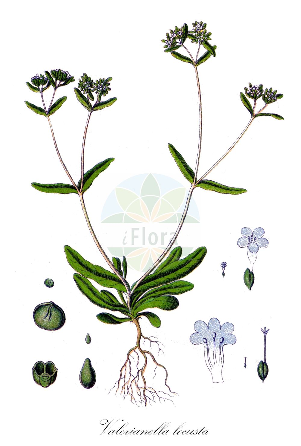 Historische Abbildung von Valerianella locusta (Gewoehnlicher Feldsalat - Common Cornsalad). Das Bild zeigt Blatt, Bluete, Frucht und Same. ---- Historical Drawing of Valerianella locusta (Gewoehnlicher Feldsalat - Common Cornsalad).The image is showing leaf, flower, fruit and seed.(Valerianella locusta,Gewoehnlicher Feldsalat,Common Cornsalad,Valeriana locusta,Valerianella olitoria,Ackersalat,Echter Feldsalat,Rapunzel,Sonnenwirbele,Lewiston Cornsalad,European Corn Salad,Cornsalad,Lamb's Lettuce,Valerianella,Rapunzel,Cornsalad,Caprifoliaceae,Geissblattgewaechse,Honeysuckle family,Blatt,Bluete,Frucht,Same,leaf,flower,fruit,seed,Sturm (1796f))