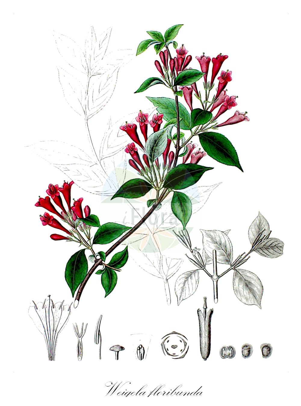 Historische Abbildung von Weigela floribunda. Das Bild zeigt Blatt, Bluete, Frucht und Same. ---- Historical Drawing of Weigela floribunda.The image is showing leaf, flower, fruit and seed.(Weigela floribunda,Diervilla floribunda,,Weigela,Weigelie,Bush Honeysuckle,Caprifoliaceae,Geissblattgewaechse,Honeysuckle family,Blatt,Bluete,Frucht,Same,leaf,flower,fruit,seed,von Siebold & Zuccarini (1835-1875))