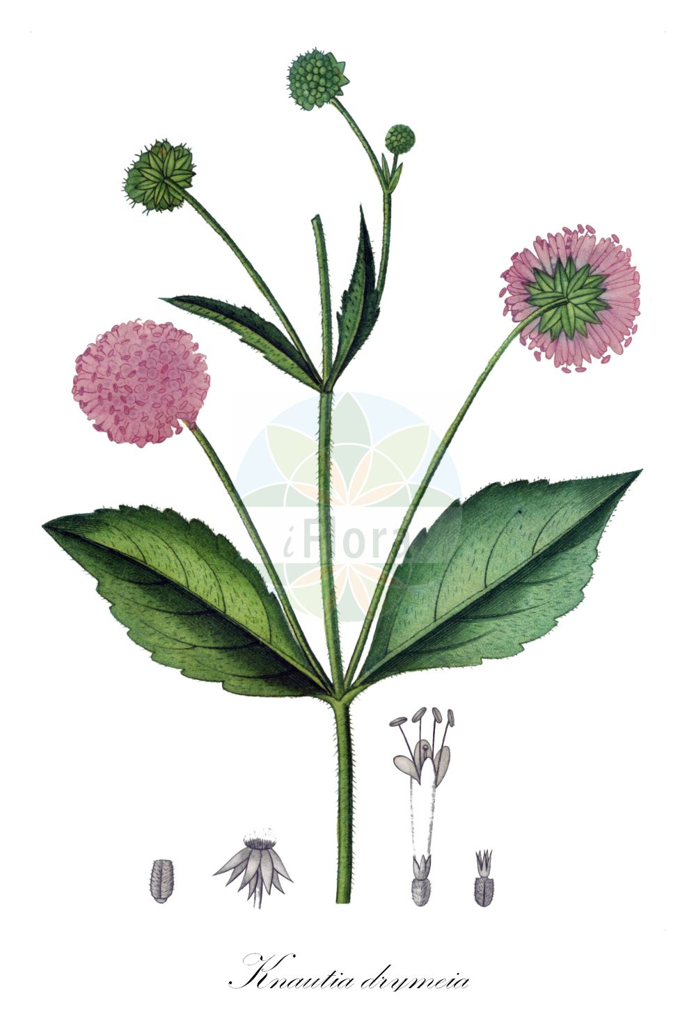 Historische Abbildung von Knautia drymeia (Ungarische Witwenblume - Hungarian Scabious). Das Bild zeigt Blatt, Bluete, Frucht und Same. ---- Historical Drawing of Knautia drymeia (Ungarische Witwenblume - Hungarian Scabious).The image is showing leaf, flower, fruit and seed.(Knautia drymeia,Ungarische Witwenblume,Hungarian Scabious,Scabiosa sylvatica,Breitblaettrige ,Knautia,Witwenblume,Scabious,Caprifoliaceae,Geissblattgewaechse,Honeysuckle family,Blatt,Bluete,Frucht,Same,leaf,flower,fruit,seed,de Saint-Hilaire (1808-1822))