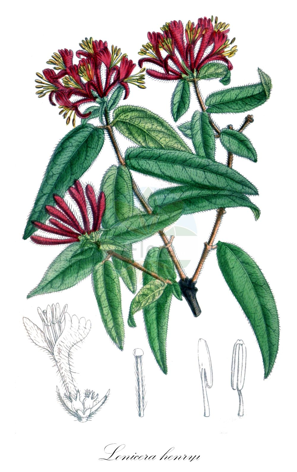 Historische Abbildung von Lonicera henryi (Henrys Heckenkirsche - Henry's Honeysuckle). Das Bild zeigt Blatt, Bluete, Frucht und Same. ---- Historical Drawing of Lonicera henryi (Henrys Heckenkirsche - Henry's Honeysuckle).The image is showing leaf, flower, fruit and seed.(Lonicera henryi,Henrys Heckenkirsche,Henry's Honeysuckle,Lonicera,Heckenkirsche,Honeysuckle,Caprifoliaceae,Geissblattgewaechse,Honeysuckle family,Blatt,Bluete,Frucht,Same,leaf,flower,fruit,seed,Curtis Botanical Magazine (1909))