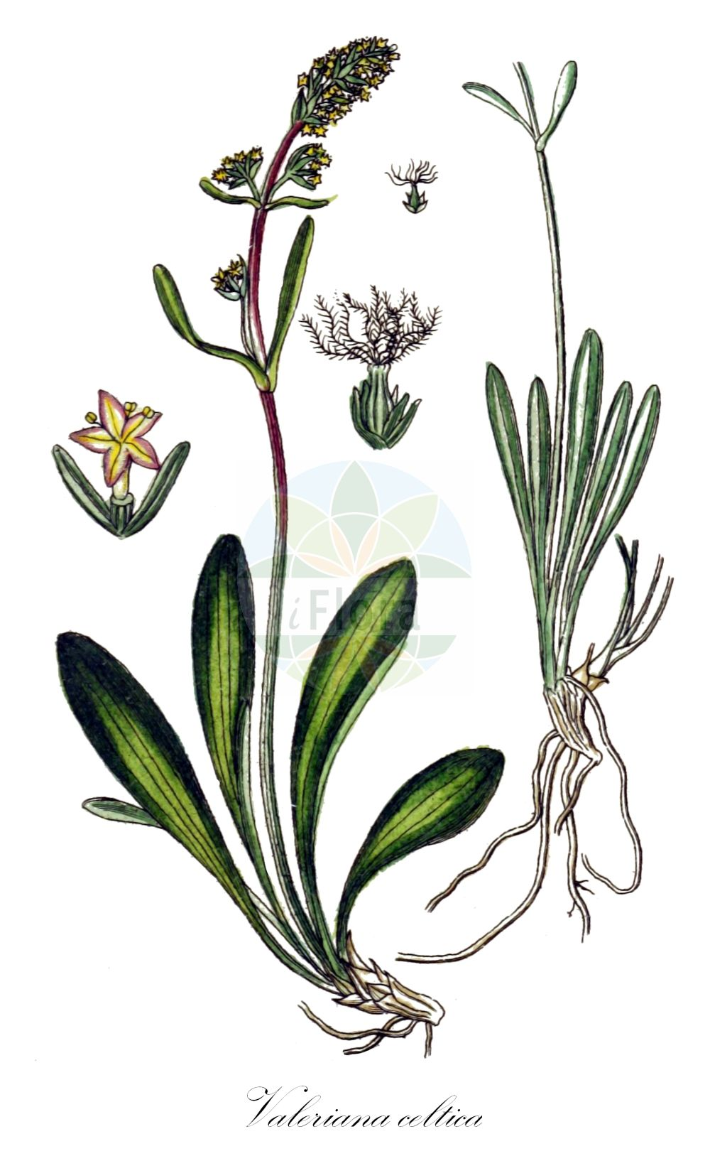 Historische Abbildung von Valeriana celtica. Das Bild zeigt Blatt, Bluete, Frucht und Same. ---- Historical Drawing of Valeriana celtica.The image is showing leaf, flower, fruit and seed.(Valeriana celtica,Valeriana,Baldrian,Valerian,Caprifoliaceae,Geissblattgewaechse,Honeysuckle family,Blatt,Bluete,Frucht,Same,leaf,flower,fruit,seed,Sturm (1796f))
