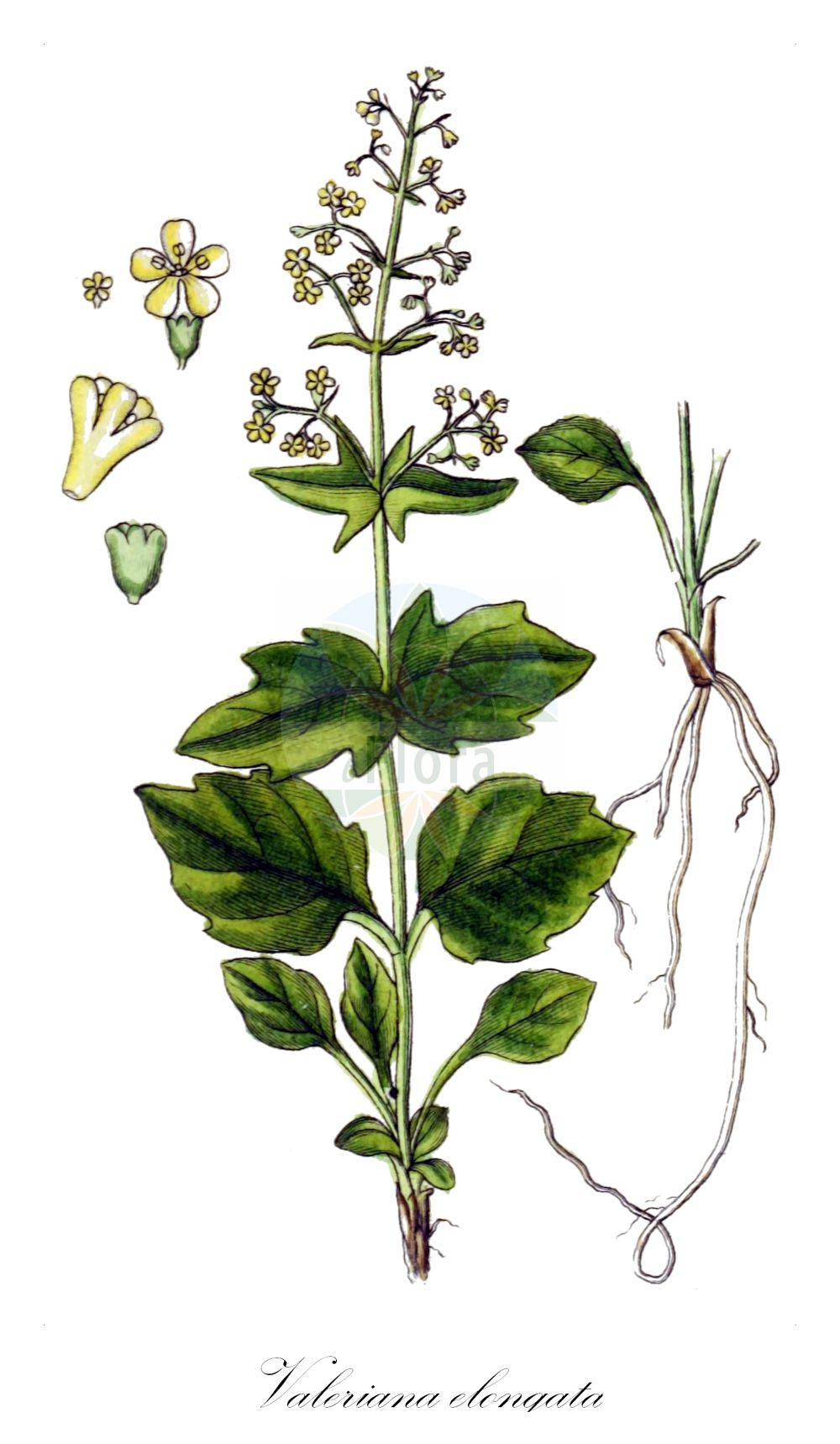 Historische Abbildung von Valeriana elongata. Das Bild zeigt Blatt, Bluete, Frucht und Same. ---- Historical Drawing of Valeriana elongata.The image is showing leaf, flower, fruit and seed.(Valeriana elongata,Valeriana,Baldrian,Valerian,Caprifoliaceae,Geissblattgewaechse,Honeysuckle family,Blatt,Bluete,Frucht,Same,leaf,flower,fruit,seed,Sturm (1796f))