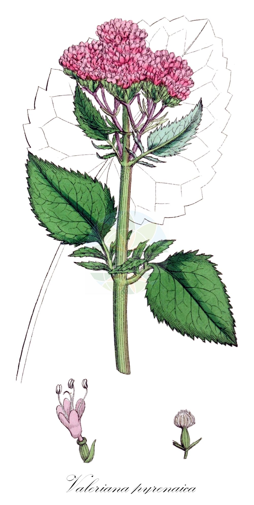 Historische Abbildung von Valeriana pyrenaica. Das Bild zeigt Blatt, Bluete, Frucht und Same. ---- Historical Drawing of Valeriana pyrenaica.The image is showing leaf, flower, fruit and seed.(Valeriana pyrenaica,Valeriana,Baldrian,Valerian,Caprifoliaceae,Geissblattgewaechse,Honeysuckle family,Blatt,Bluete,Frucht,Same,leaf,flower,fruit,seed,Sowerby (1790-1813))