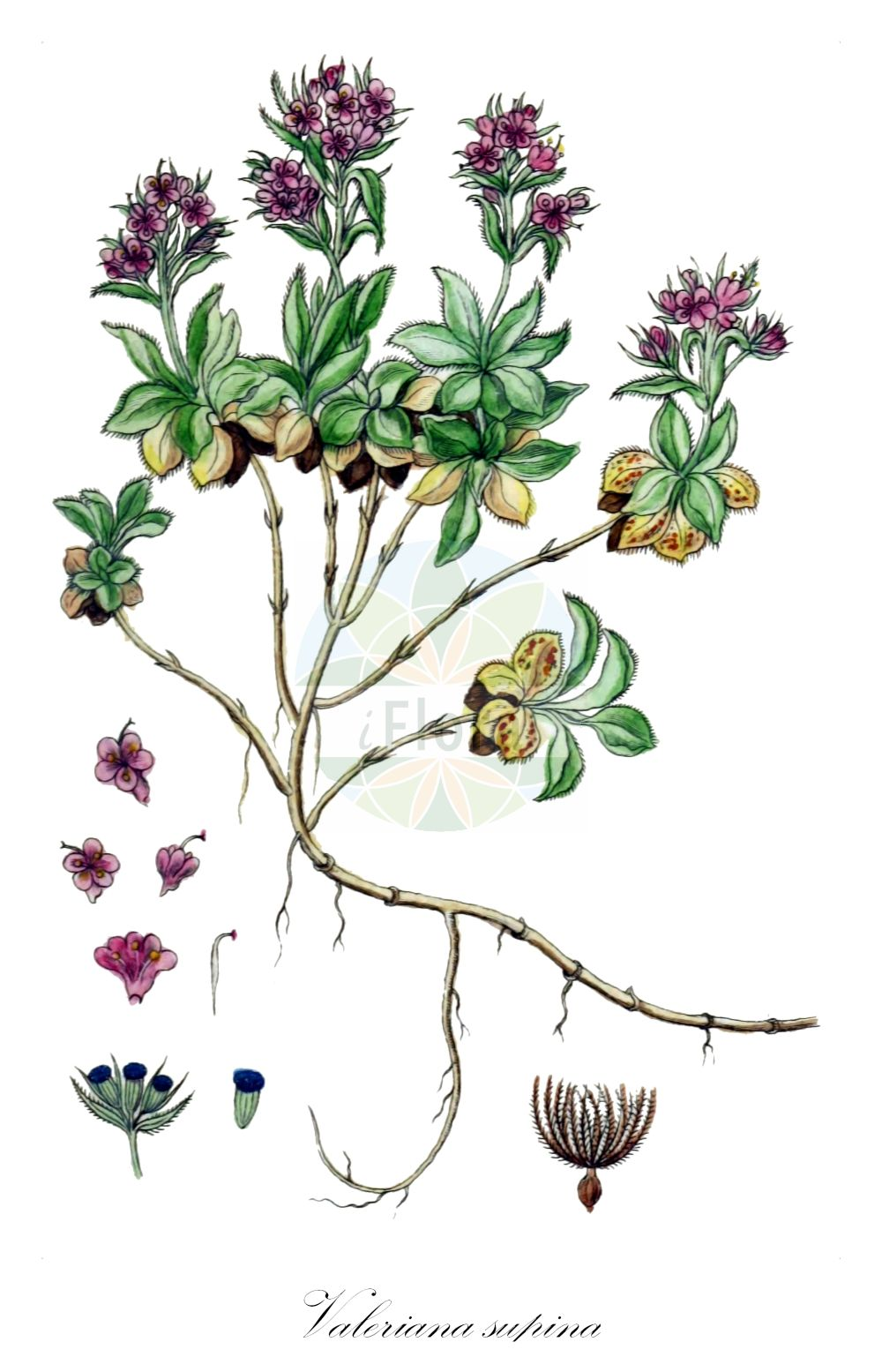 Historische Abbildung von Valeriana supina (Zwerg-Baldrian - Dwarf Valerian). Das Bild zeigt Blatt, Bluete, Frucht und Same. ---- Historical Drawing of Valeriana supina (Zwerg-Baldrian - Dwarf Valerian).The image is showing leaf, flower, fruit and seed.(Valeriana supina,Zwerg-Baldrian,Dwarf Valerian,Valeriana,Baldrian,Valerian,Caprifoliaceae,Geissblattgewaechse,Honeysuckle family,Blatt,Bluete,Frucht,Same,leaf,flower,fruit,seed,Sturm (1796f))