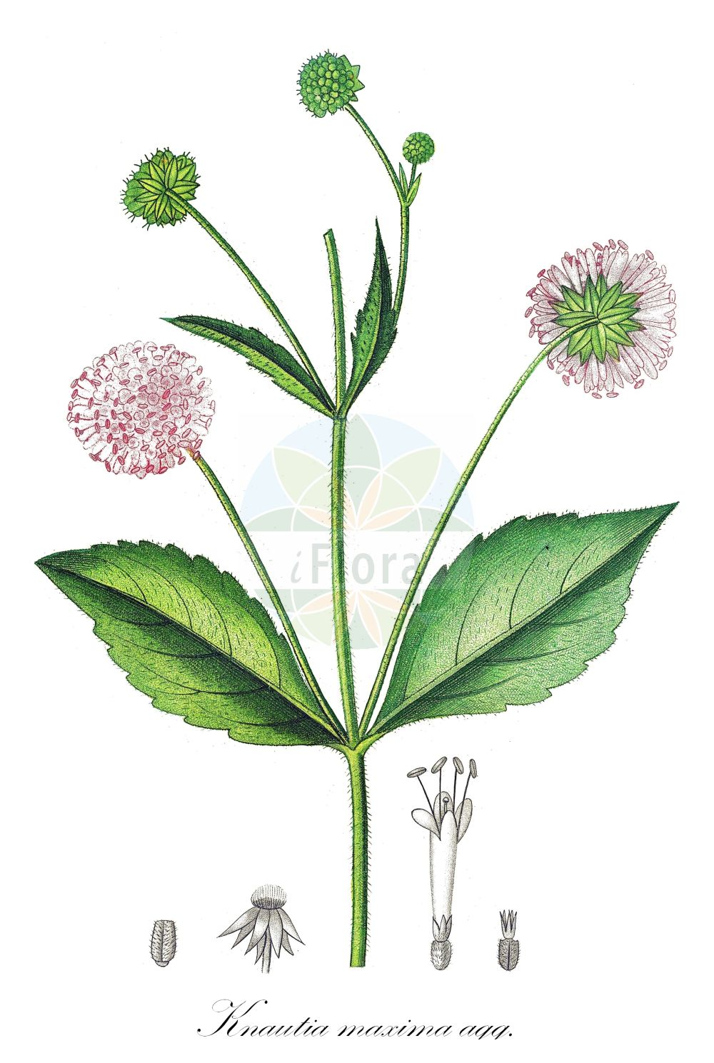 Historische Abbildung von Knautia maxima agg. (Wald-Witwenblume - Wood Scabious). Das Bild zeigt Blatt, Bluete, Frucht und Same. ---- Historical Drawing of Knautia maxima agg. (Wald-Witwenblume - Wood Scabious).The image is showing leaf, flower, fruit and seed.(Knautia maxima agg.,Wald-Witwenblume,Wood Scabious,Knautia,Witwenblume,Scabious,Caprifoliaceae,Geissblattgewaechse,Honeysuckle family,Blatt,Bluete,Frucht,Same,leaf,flower,fruit,seed,de Saint-Hilaire (1828-1833))