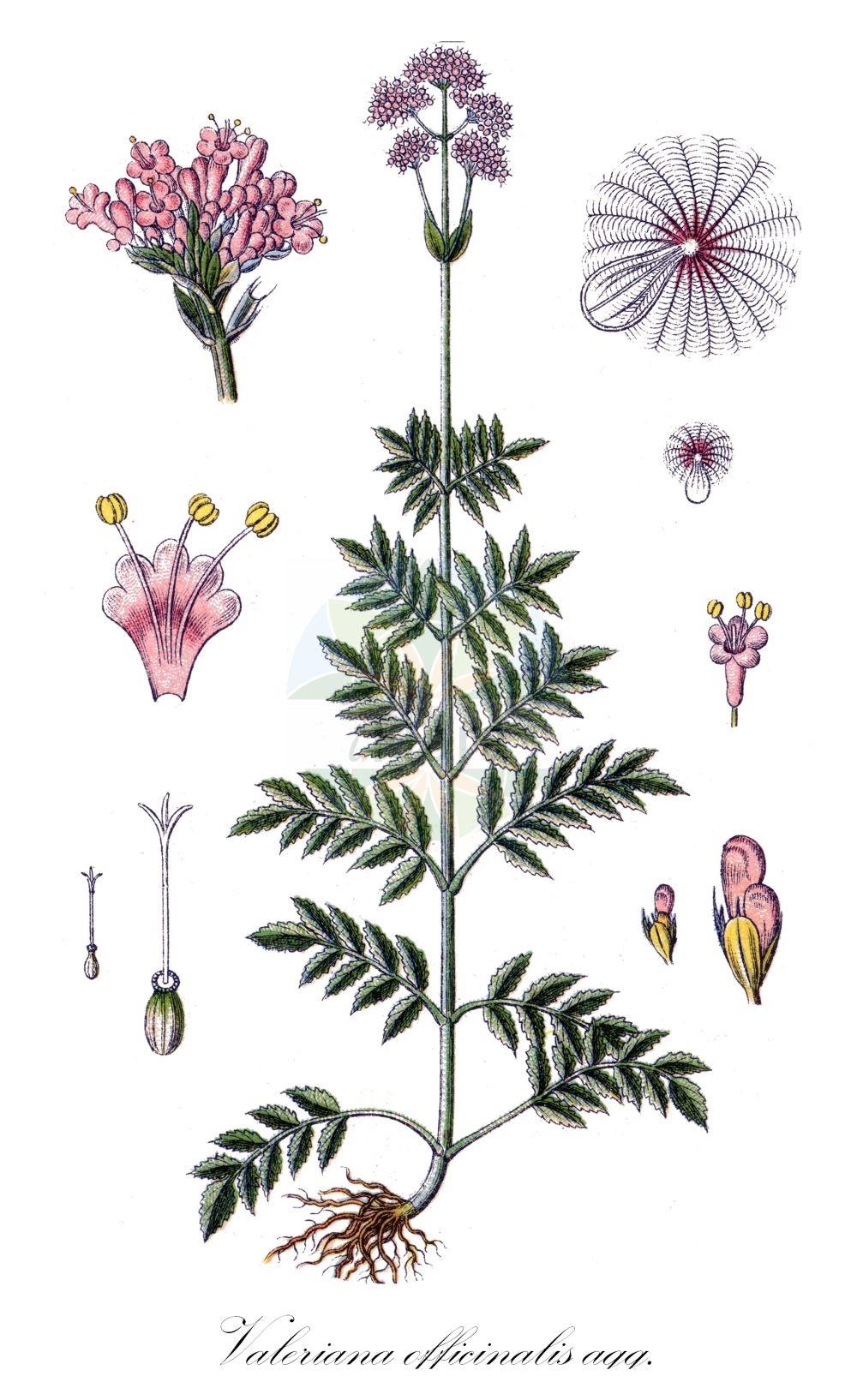 Historische Abbildung von Valeriana officinalis agg. (Arznei-Baldrian - Common Valerian). Das Bild zeigt Blatt, Bluete, Frucht und Same. ---- Historical Drawing of Valeriana officinalis agg. (Arznei-Baldrian - Common Valerian).The image is showing leaf, flower, fruit and seed.(Valeriana officinalis agg.,Arznei-Baldrian,Common Valerian,Garden Valerian,Great Wild Valerian,Valeriana,Baldrian,Valerian,Caprifoliaceae,Geissblattgewaechse,Honeysuckle family,Blatt,Bluete,Frucht,Same,leaf,flower,fruit,seed,Sturm (1796f))