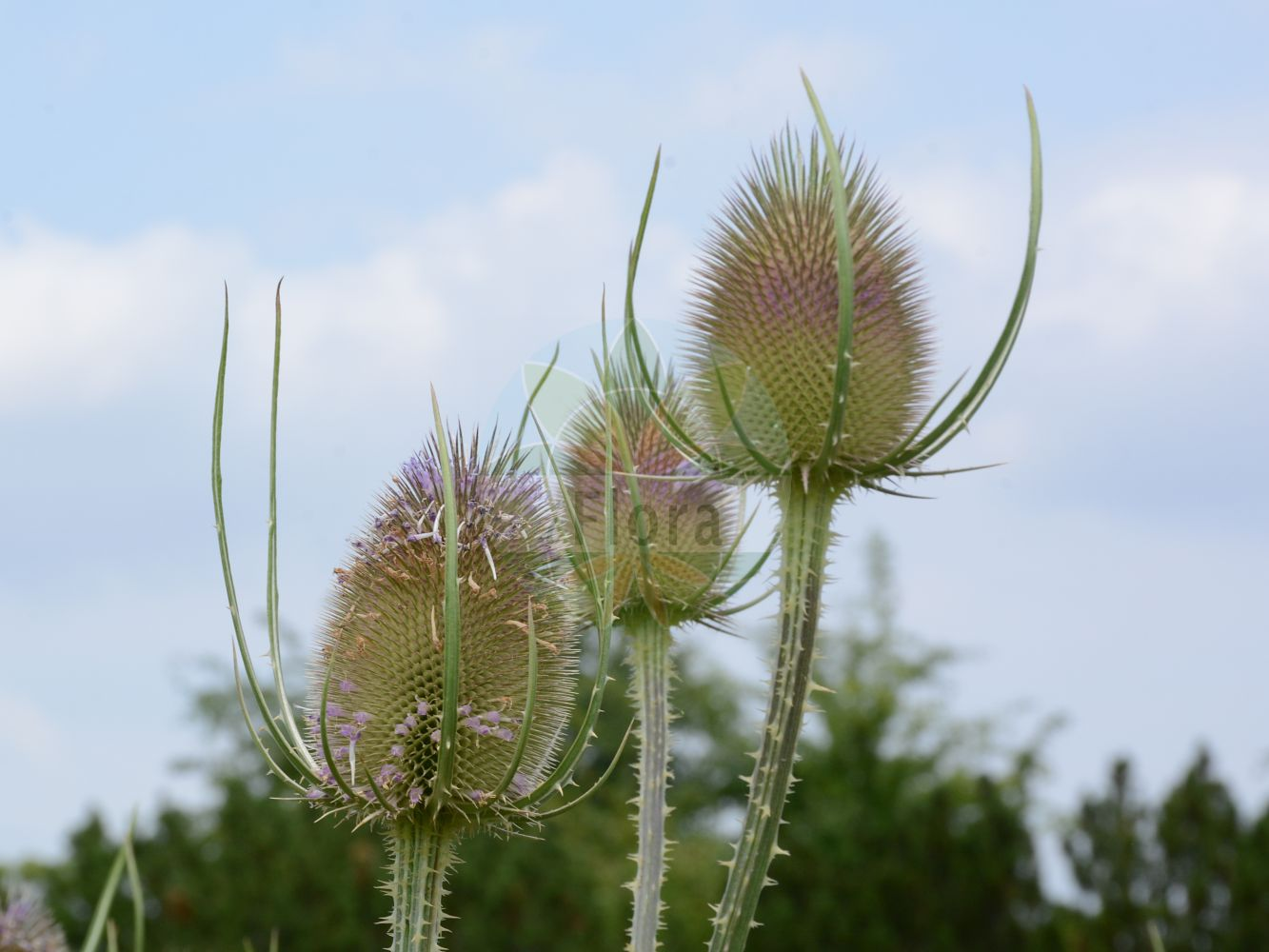 Foto von Dipsacus fullonum (Wilde Karde - Wild Teasel). Das Foto wurde in Berlin, Deutschland aufgenommen. ---- Photo of Dipsacus fullonum (Wilde Karde - Wild Teasel).The picture was taken in Berlin, Germany.(Dipsacus fullonum,Wilde Karde,Wild Teasel,Dipsacus sylvestris,Common Teasel,Fuller's Teasel,Teasel,Dipsacus,Karde,Teasel,Caprifoliaceae,Geissblattgewaechse,Honeysuckle family)