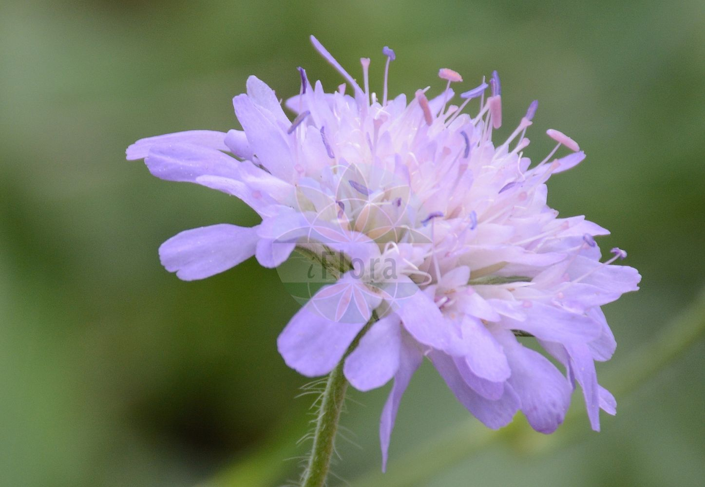 Foto von Knautia arvensis (Wiesen-Witwenblume - Field Scabious). Das Foto wurde in Dresden, Sachsen, Deutschland aufgenommen. ---- Photo of Knautia arvensis (Wiesen-Witwenblume - Field Scabious).The picture was taken in Dresden, Sachsen, Germany.(Knautia arvensis,Wiesen-Witwenblume,Field Scabious,Knautia avernica,Knautia boderei,Knautia borderei,Knautia catalaunica,Knautia timeroyi,Scabiosa arvensis,Scabiosa collina,Scabiosa dubia,Scabiosa polymorpha,Trichera arvensis,Trichera timeroyi,Kitaibels Witwenblume,Field Scabiosa,Knautia,Witwenblume,Scabious,Caprifoliaceae,Geissblattgewaechse,Honeysuckle family)