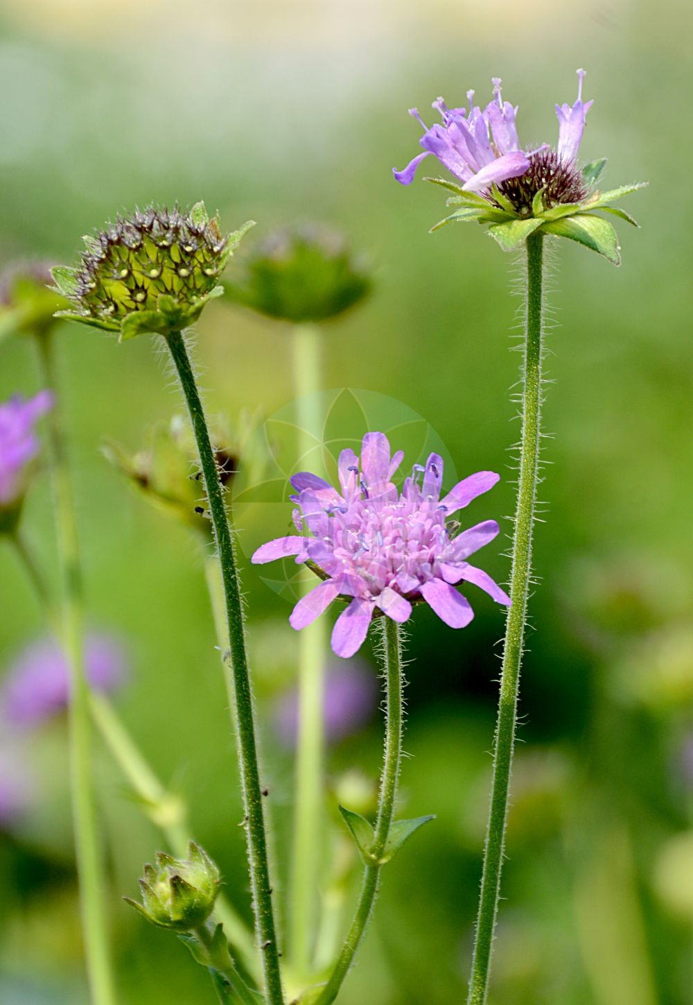 Foto von Knautia maxima (Wald-Witwenblume - Wood Scabious). Das Foto wurde in Bonn, Nordrhein-Westfalen, Deutschland aufgenommen. ---- Photo of Knautia maxima (Wald-Witwenblume - Wood Scabious).The picture was taken in Bonn, North Rhine-Westphalia, Germany.(Knautia maxima,Wald-Witwenblume,Wood Scabious,Scabiosa maxima,Gewoehnliche ,Forest Widow Flower,Knautia,Witwenblume,Scabious,Caprifoliaceae,Geissblattgewaechse,Honeysuckle family)
