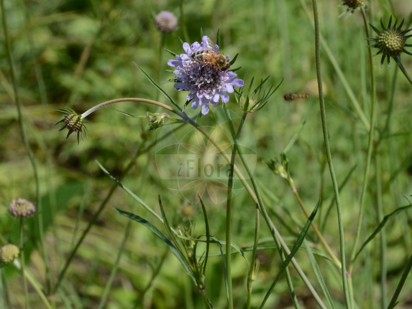 Foto von Scabiosa columbaria (Tauben-Skabiose - Small Scabious). Das Foto wurde in Bremen, Deutschland aufgenommen. ---- Photo of Scabiosa columbaria (Tauben-Skabiose - Small Scabious).The picture was taken in Bremen, Germany.(Scabiosa columbaria,Tauben-Skabiose,Small Scabious,Scabiosa affinis,Scabiosa amoena,Scabiosa angulata,Scabiosa banatica,Scabiosa ceratophylla,Scabiosa columnae,Scabiosa communis,,Dove Scabious,Dove Pincushions,Scabiosa,Skabiose,Scabious,Caprifoliaceae,Geissblattgewaechse,Honeysuckle family)