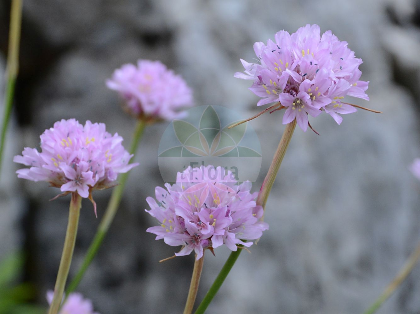 Foto von Scabiosa lucida (Glaenzende Skabiose - Glossy Scabious). Das Foto wurde in La Rambertina, Waadt, Schweiz aufgenommen. ---- Photo of Scabiosa lucida (Glaenzende Skabiose - Glossy Scabious).The picture was taken in La Rambertina, Vaud, Switzerland.(Scabiosa lucida,Glaenzende Skabiose,Glossy Scabious,Scabiosa opaca,Scabiosa pubescens,Shining Scabious,Scabiosa,Skabiose,Scabious,Caprifoliaceae,Geissblattgewaechse,Honeysuckle family)