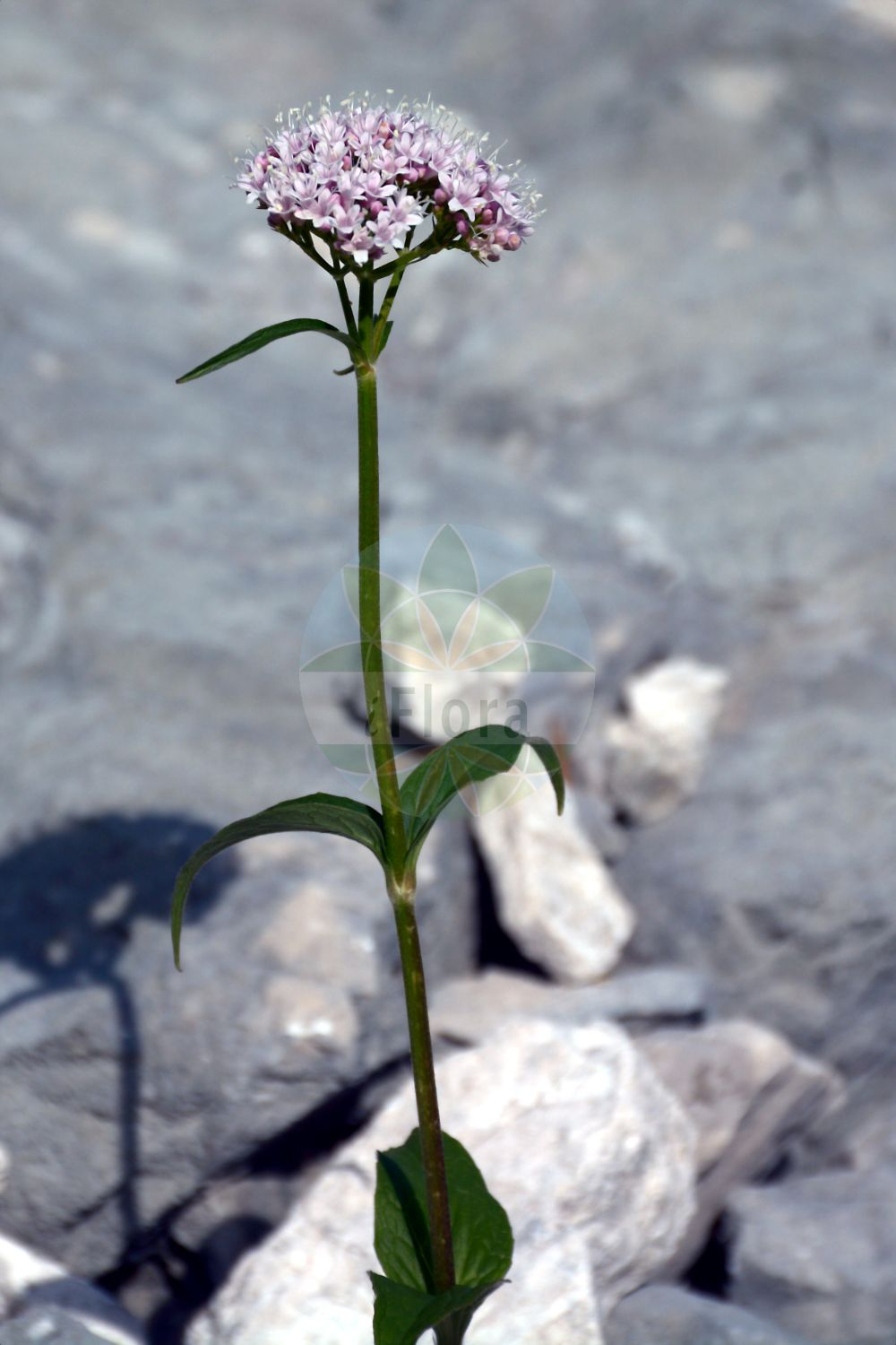 Foto von Valeriana montana (Berg-Baldrian - Mountain Valerian). Das Foto wurde in Schachen, Garmisch-Partenkirchen, Bayern, Deutschland, Alpen aufgenommen. ---- Photo of Valeriana montana (Berg-Baldrian - Mountain Valerian).The picture was taken in Schachen, Garmisch-Partenkirchen, Bavaria, Germany, Alps.(Valeriana montana,Berg-Baldrian,Mountain Valerian,Valeriana,Baldrian,Valerian,Caprifoliaceae,Geissblattgewaechse,Honeysuckle family)