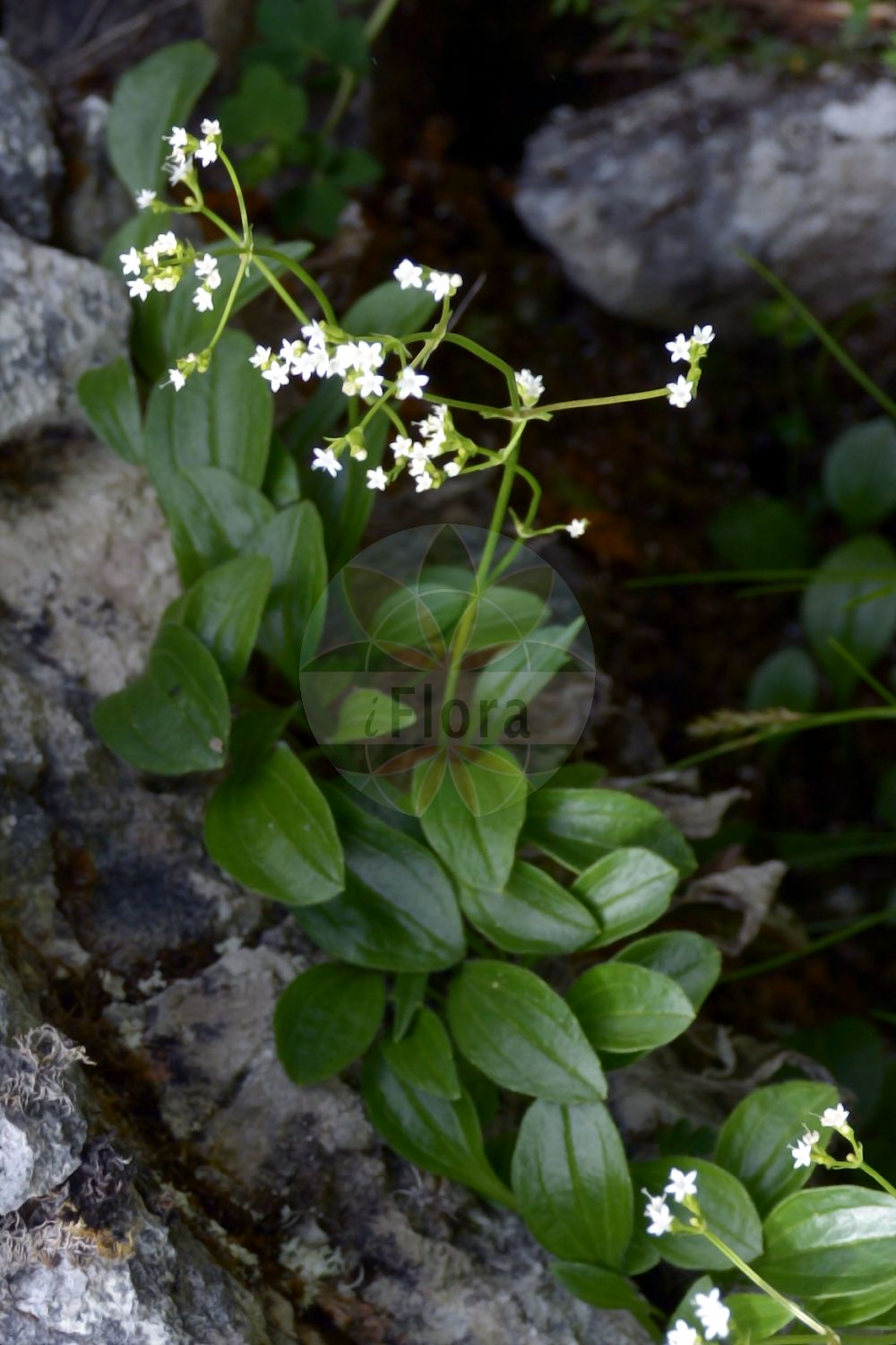 Foto von Valeriana saxatilis (Felsen-Baldrian - Rock Valerian). Das Foto wurde in Schachen, Garmisch-Partenkirchen, Bayern, Deutschland, Alpen aufgenommen. ---- Photo of Valeriana saxatilis (Felsen-Baldrian - Rock Valerian).The picture was taken in Schachen, Garmisch-Partenkirchen, Bavaria, Germany, Alps.(Valeriana saxatilis,Felsen-Baldrian,Rock Valerian,Valeriana,Baldrian,Valerian,Caprifoliaceae,Geissblattgewaechse,Honeysuckle family)