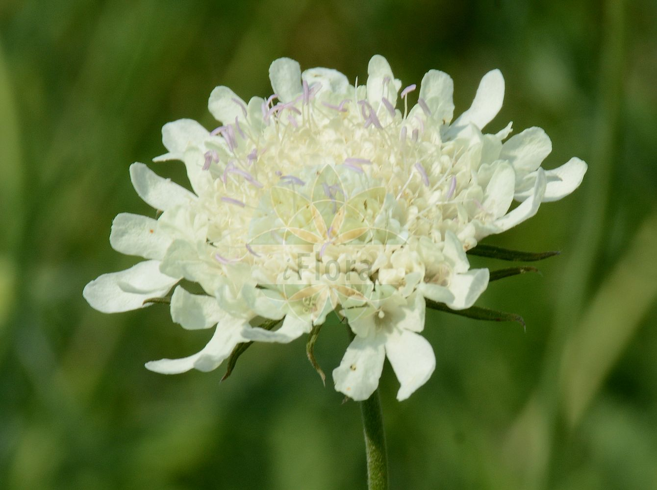 Foto von Cephalaria alpina. Das Foto wurde in Bonn, Nordrhein-Westfalen, Deutschland aufgenommen. ---- Photo of Cephalaria alpina.The picture was taken in Bonn, North Rhine-Westphalia, Germany.(Cephalaria alpina,Scabiosa alpina,Succisa alpina,Cephalaria,Caprifoliaceae,Geissblattgewaechse,Honeysuckle family)