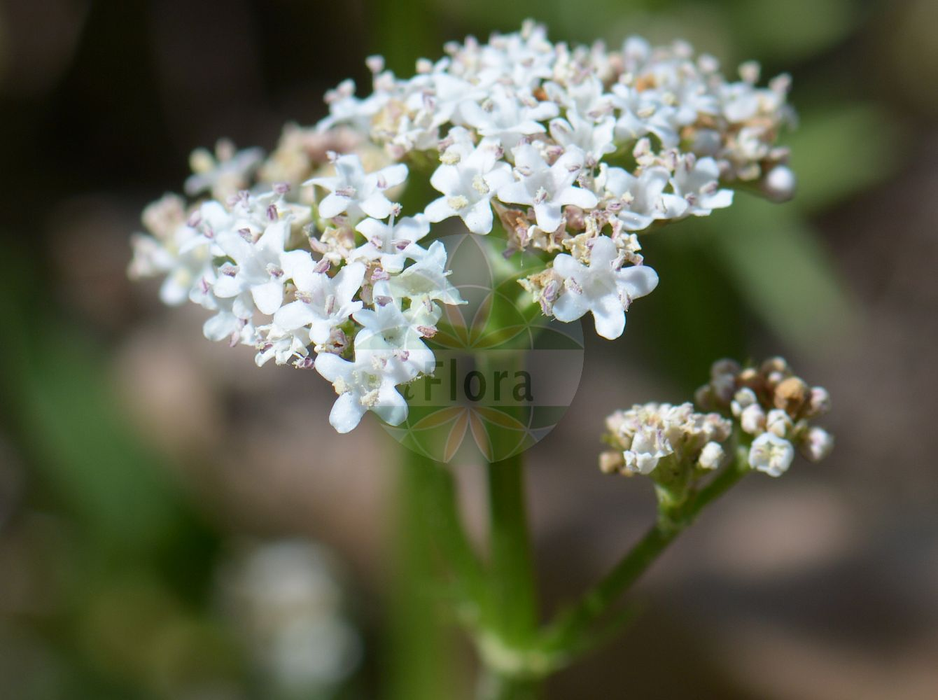 Foto von Valeriana dioica (Sumpf-Baldrian - Marsh Valerian). Das Foto wurde in Heidelberg, Baden-Wuerttemberg, Deutschland aufgenommen. ---- Photo of Valeriana dioica (Sumpf-Baldrian - Marsh Valerian).The picture was taken in Heidelberg, Baden-Wuerttemberg, Germany.(Valeriana dioica,Sumpf-Baldrian,Marsh Valerian,Lesser Valerian,Small Wild Valerian,Valeriana,Baldrian,Valerian,Caprifoliaceae,Geissblattgewaechse,Honeysuckle family)