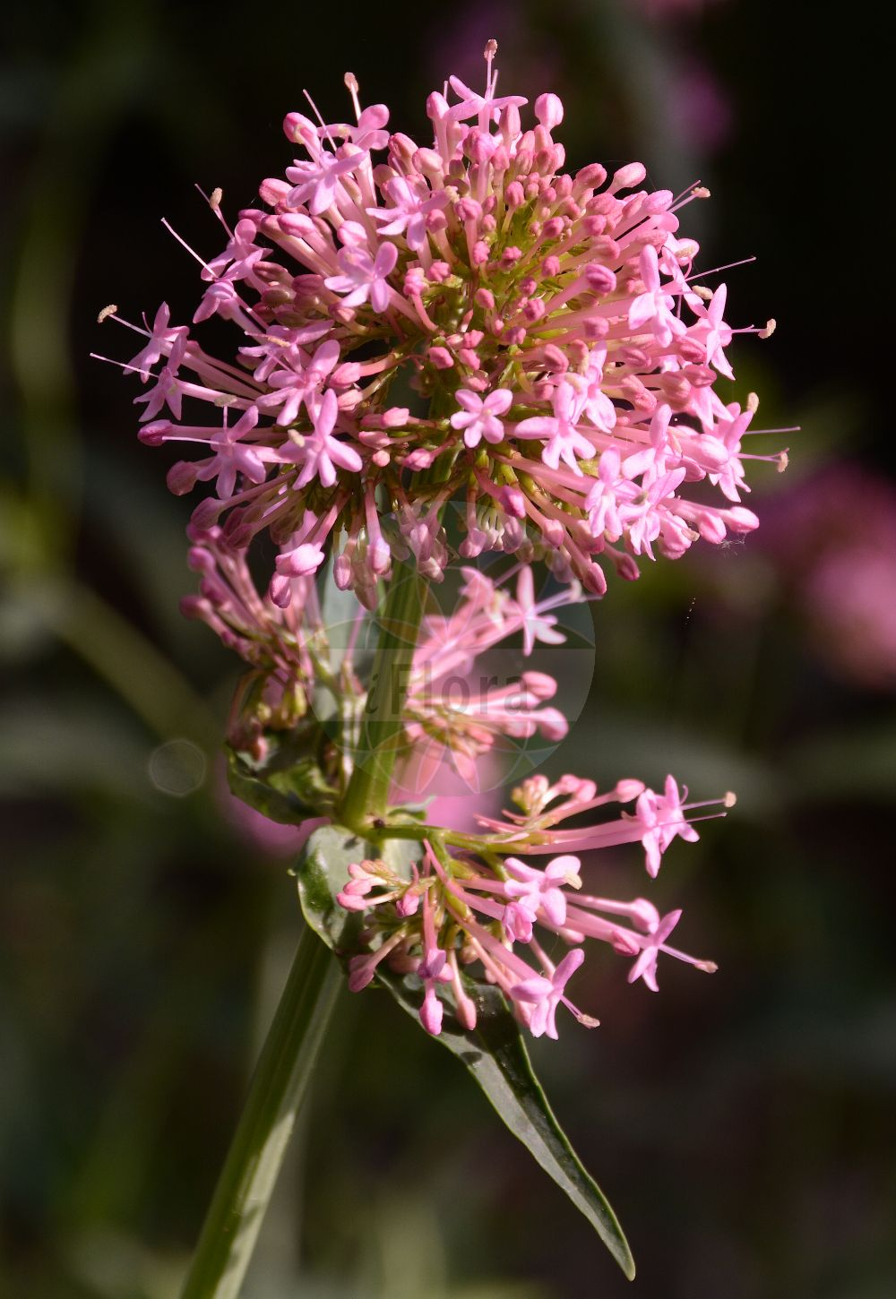 Foto von Centranthus angustifolius. Das Foto wurde in Dresden, Sachsen, Deutschland aufgenommen. ---- Photo of Centranthus angustifolius.The picture was taken in Dresden, Sachsen, Germany.(Centranthus angustifolius,Valeriana angustifolia,Centranthus,Spornblume,Lilac,Caprifoliaceae,Geissblattgewaechse,Honeysuckle family)