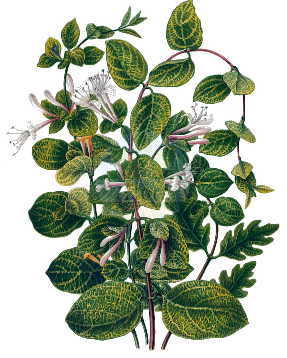 Historische Abbildung von Lonicera japonica. Das Bild zeigt Blatt, Bluete, Frucht und Same. ---- Historical Drawing of Lonicera japonica.The image is showing leaf, flower, fruit and seed.(Lonicera japonica,Lonicera japonica,Lonicera,Heckenkirsche,Honeysuckle,Caprifoliaceae,Geissblattgewaechse,Honeysuckle family,Blatt,Bluete,Frucht,Same,leaf,flower,fruit,seed,Witte (1868))