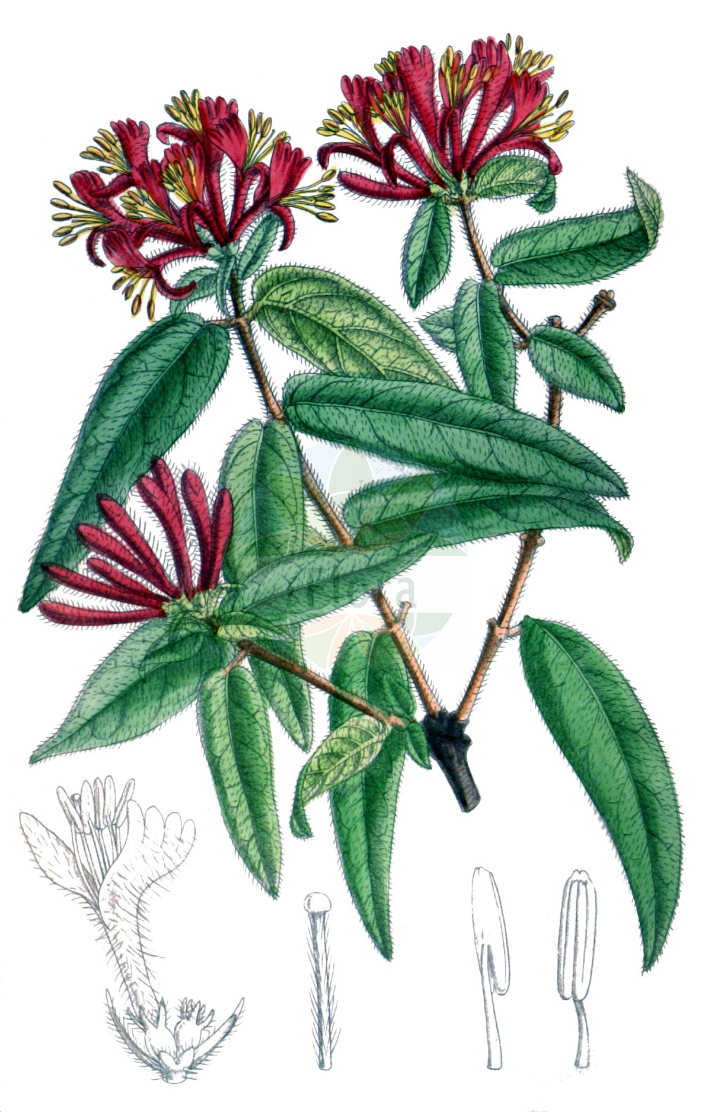 Historische Abbildung von Lonicera henryi (Henrys Heckenkirsche - Henry's Honeysuckle). Das Bild zeigt Blatt, Bluete, Frucht und Same. ---- Historical Drawing of Lonicera henryi (Henrys Heckenkirsche - Henry's Honeysuckle).The image is showing leaf, flower, fruit and seed.(Lonicera henryi,Henrys Heckenkirsche,Henry's Honeysuckle,Lonicera henryi,Henrys Heckenkirsche,Henry's Honeysuckle,Lonicera,Heckenkirsche,Honeysuckle,Caprifoliaceae,Geissblattgewaechse,Honeysuckle family,Blatt,Bluete,Frucht,Same,leaf,flower,fruit,seed,Curtis Botanical Magazine (1909))