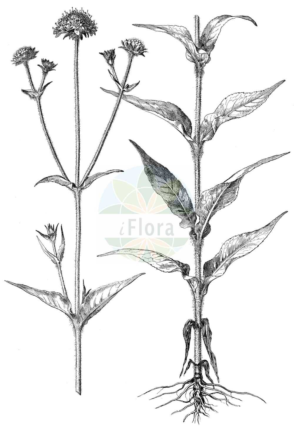 Historische Abbildung von Knautia dipsacifolia (Wald-Witwenblume). Das Bild zeigt Blatt, Bluete, Frucht und Same. ---- Historical Drawing of Knautia dipsacifolia (Wald-Witwenblume).The image is showing leaf, flower, fruit and seed.(Knautia dipsacifolia,Wald-Witwenblume,Knautia chabertii,Knautia dipsacifolia,Knautia sylvatica,Knautia sylvatica (L.) Duby,Scabiosa dipsacifolia,Trichera sylvatica,Wald-Witwenblume,Knautia,Witwenblume,Scabious,Caprifoliaceae,Geissblattgewaechse,Honeysuckle family,Blatt,Bluete,Frucht,Same,leaf,flower,fruit,seed,Oltmanns (1927))